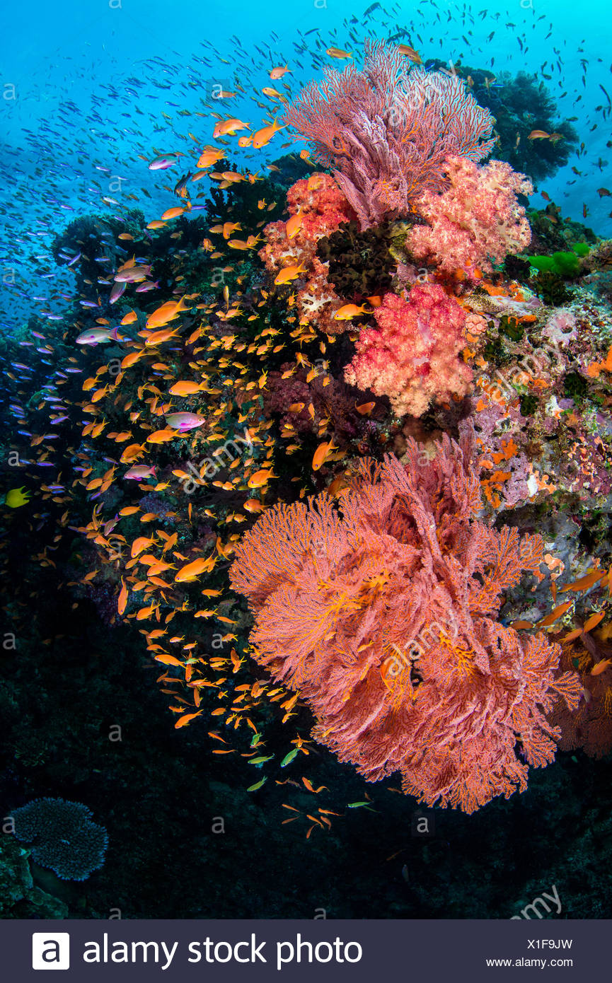 A colourful reef scene with seafans (Melithaea sp.) soft corals (Dendronephthya sp) and mainly female scalefin anthias (Pseudanthias squamipinnis). Ra Province, Viti Levu, Fiji, Polynesia. Bligh Waters, Vatu-i-Ra Passage, Tropical South Pacific Ocean Stock Photo