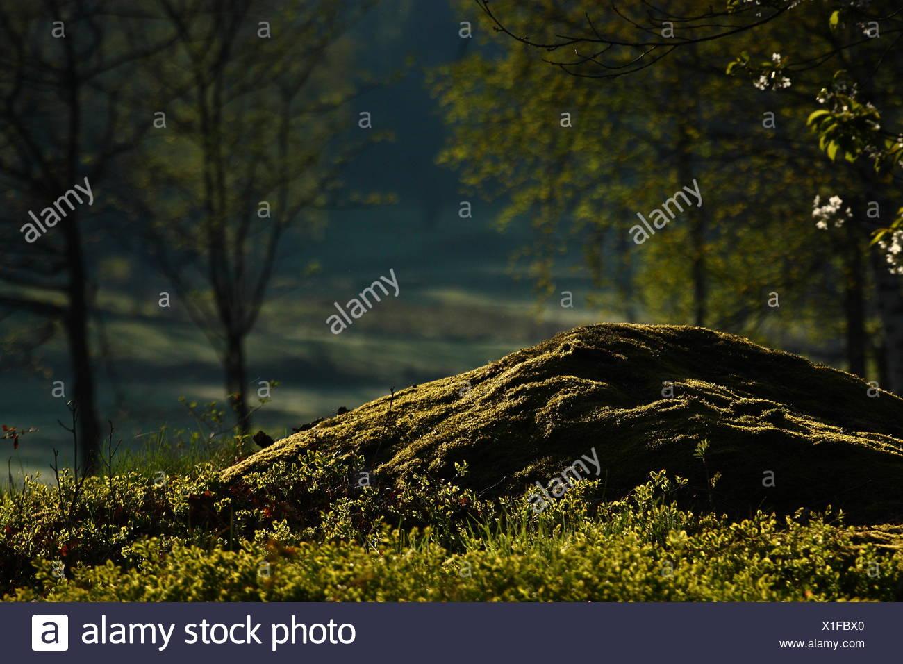 fruit tree blossoms - Stock Image