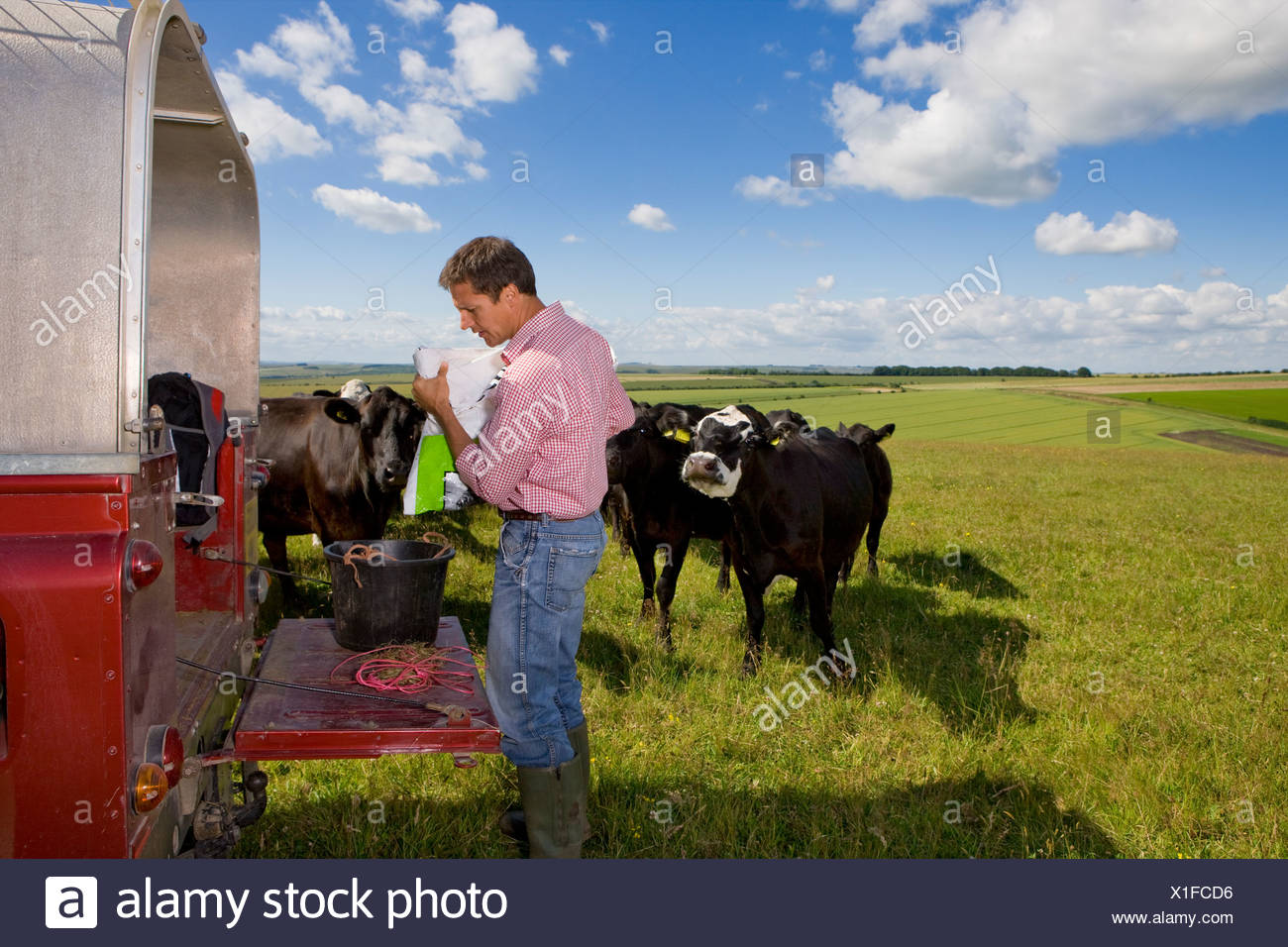 Farmer preparing feed for cattle on truck bed in sunny rural field - Stock Image