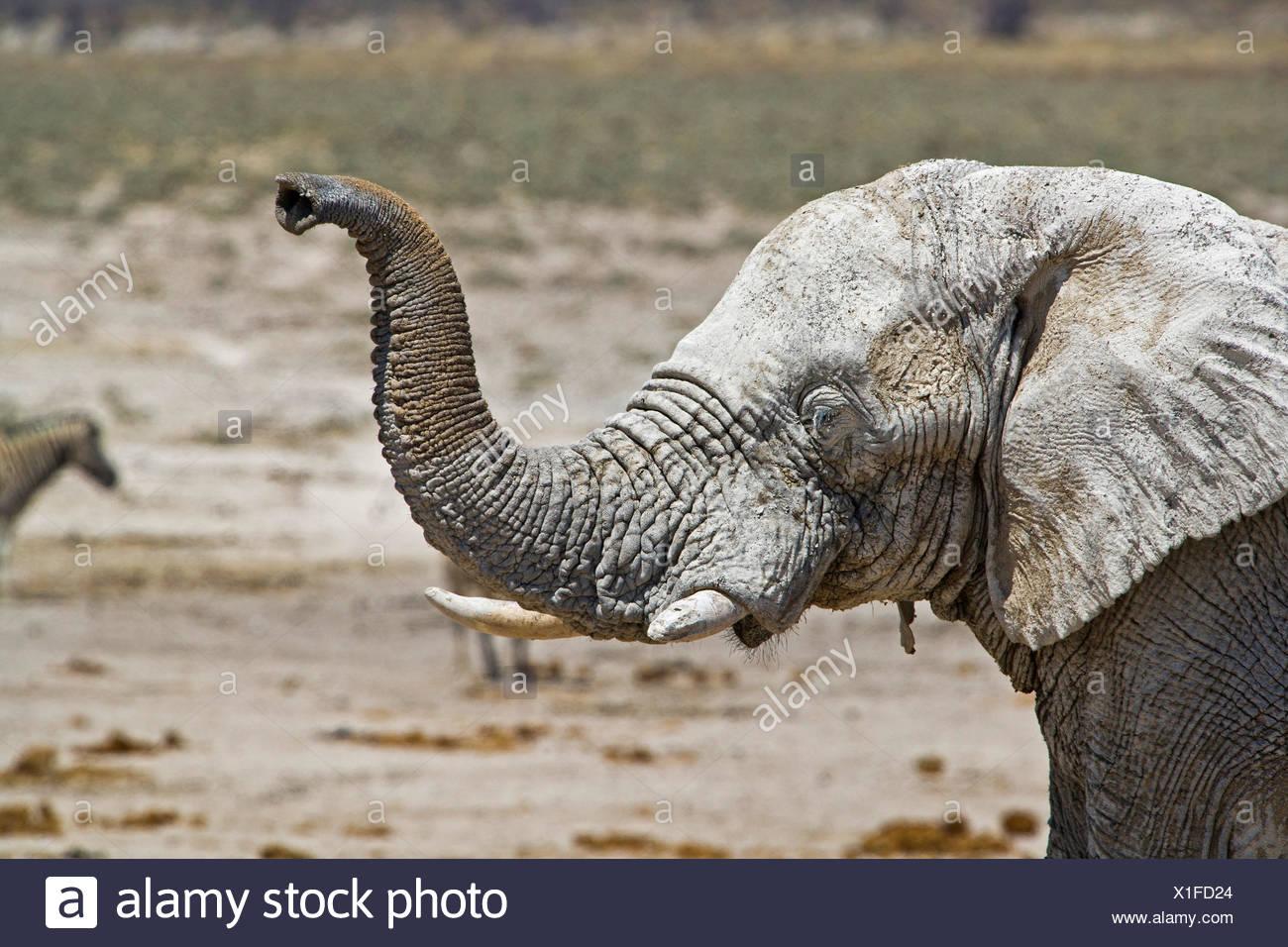 African elephant (Loxodonta africana), lifting up the trunk sniffing, Namibia, Etosha National Park Stock Photo