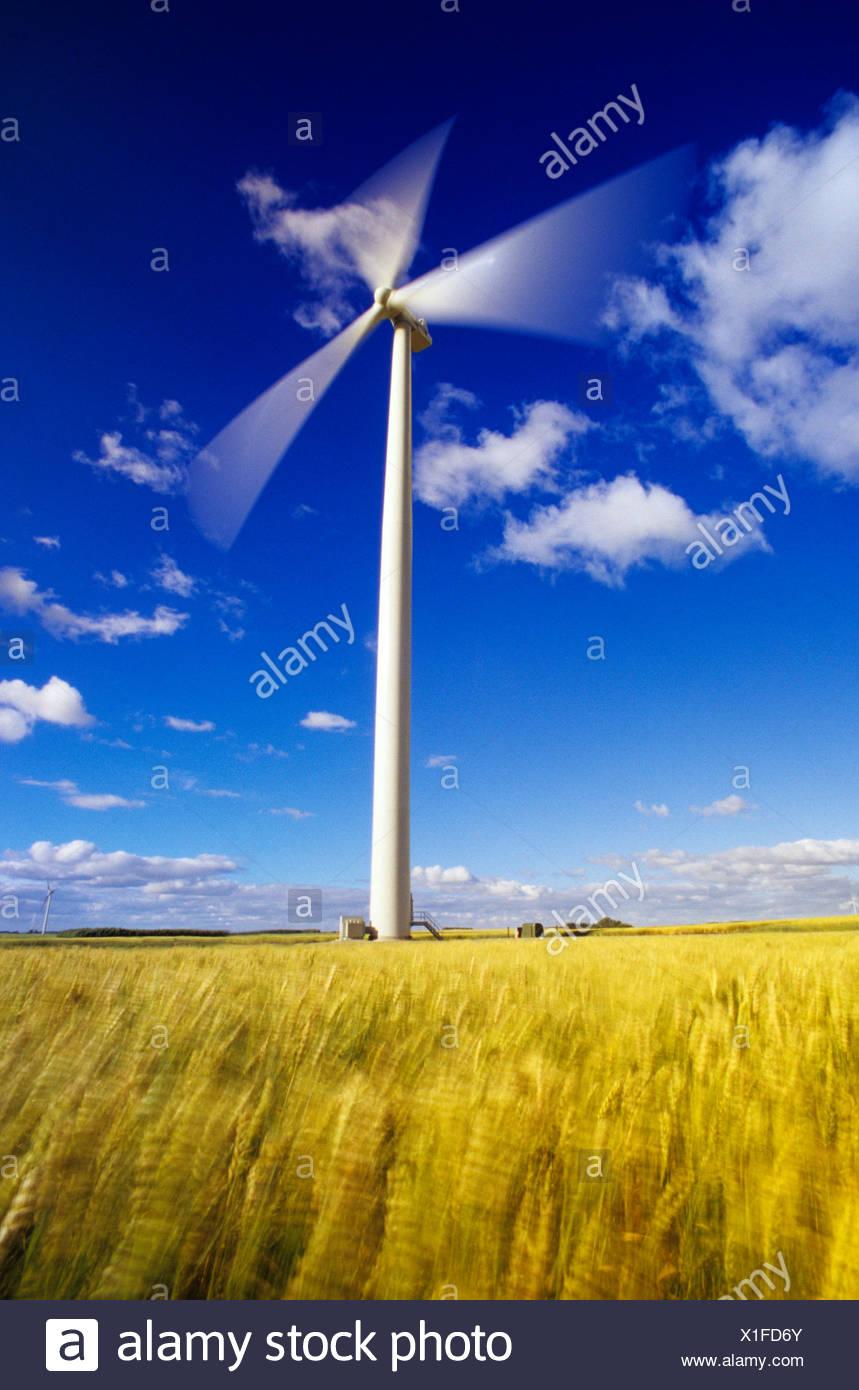 wind-blown spring wheat and wind turbine, St. Leon, Manitoba, Canada. - Stock Image