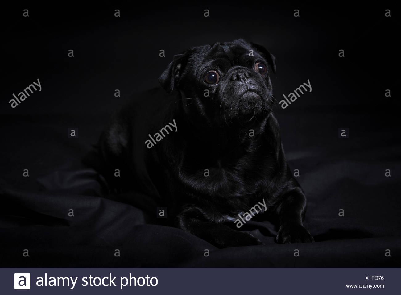 Domestic animal, Pet, dog, pug, fatty, portrait, four-legged, animal, dark, one, elegant, lie, black background, sweet, black, - Stock Image