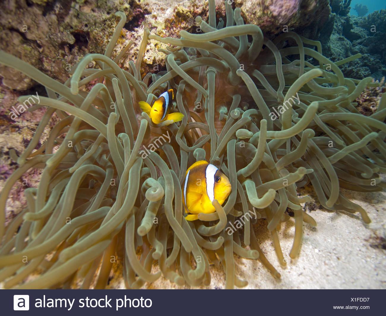 Clownfish - Stock Image