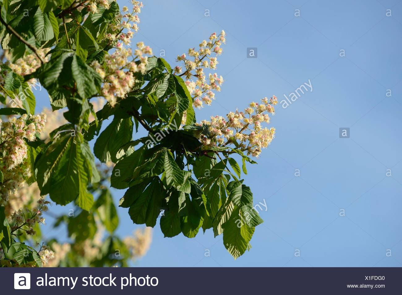 Conker tree blossoms - Stock Image
