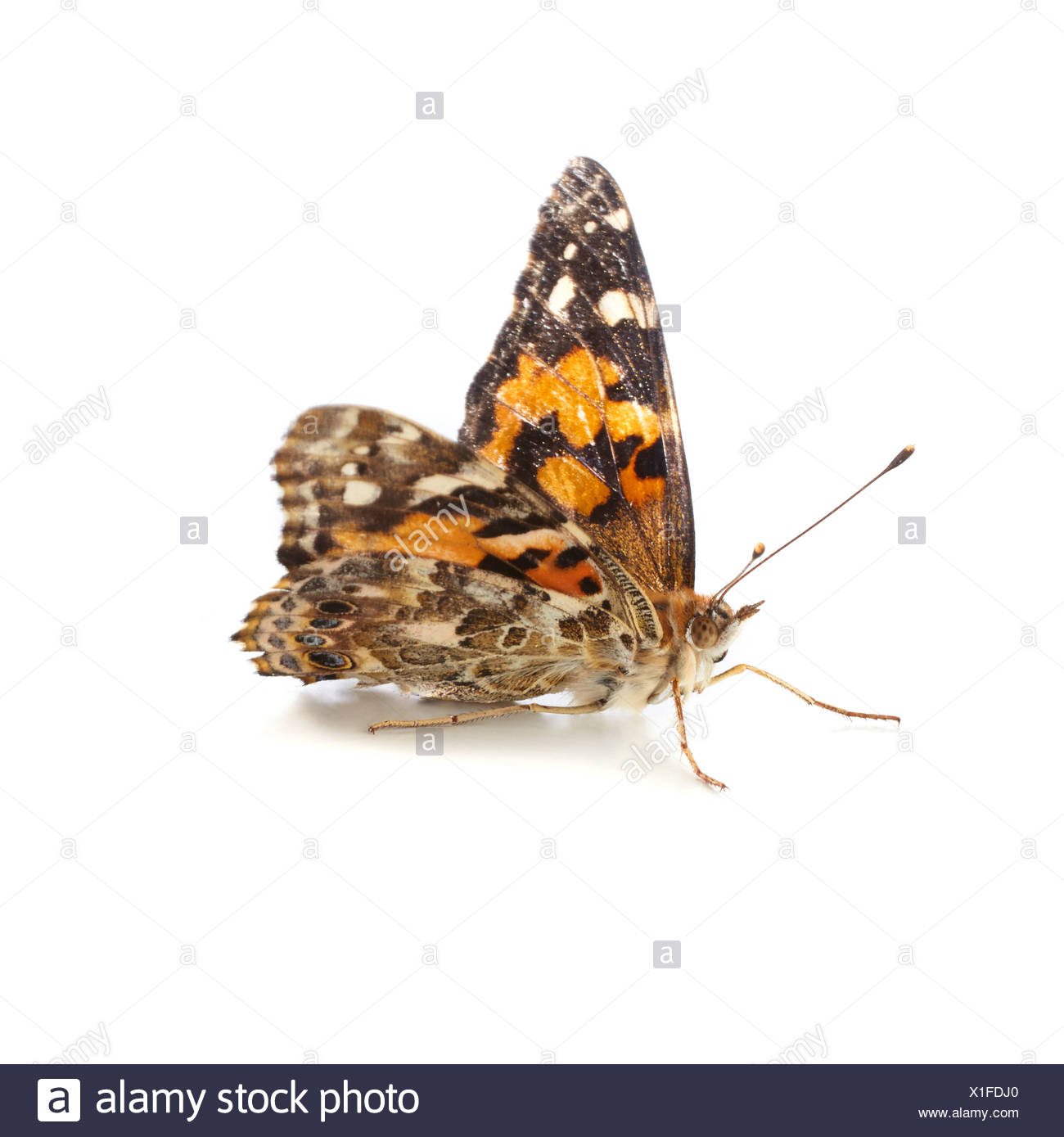 Painted lady butterfly - Stock Image