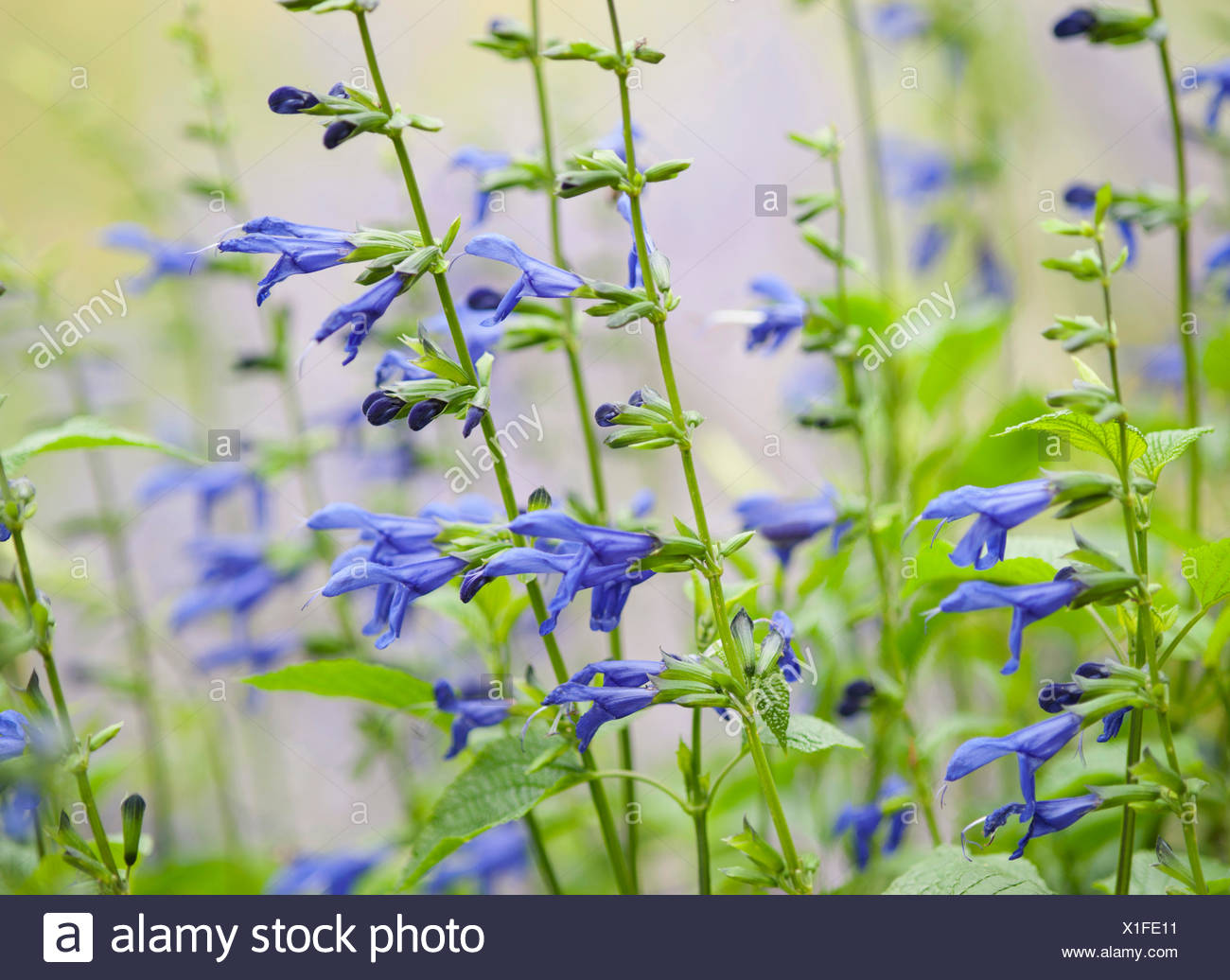 Sage, Salvia guaranitica 'Blue Enigma', Blue subject. - Stock Image
