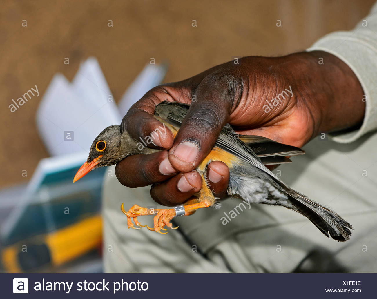 Abyssinian Thrush (Turdus olivaceus abyssinicus) is ringed by an ornithologist, Harenna Forest, Bale Mountains, Oromia Region Stock Photo