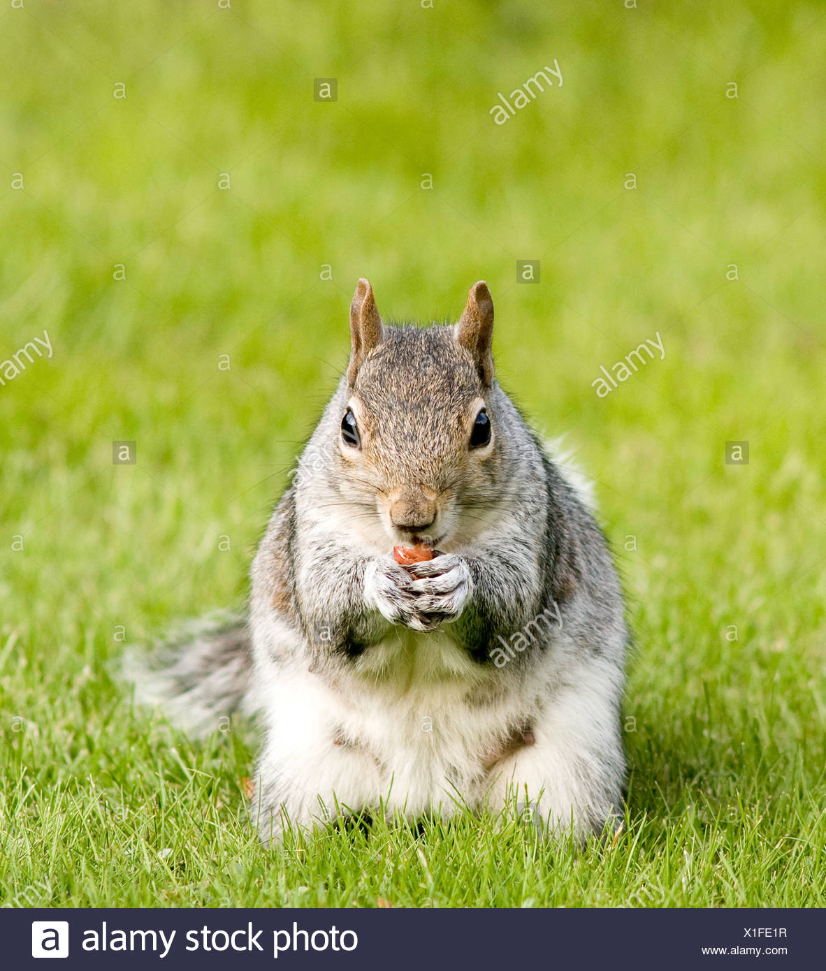 A grey squirrel eating a nut - Stock Image