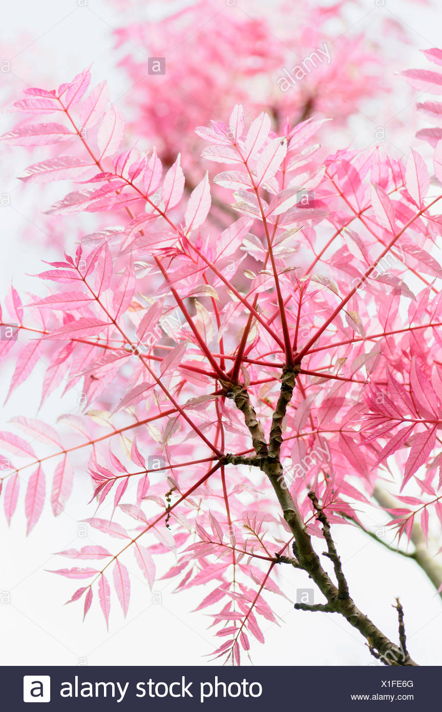 Chinese toon, Toona, Toona Sinensis 'Flamingo', Beauty in Nature, China indigenous, Colour, Creative, Deciduous, Summer Flowering, Foliage, Frost hardy, Summer Fruiting, Pastel Colour, Plant, Unusual plant, Variegated Chinese Toon, Wild flower, Pink, White, - Stock Image