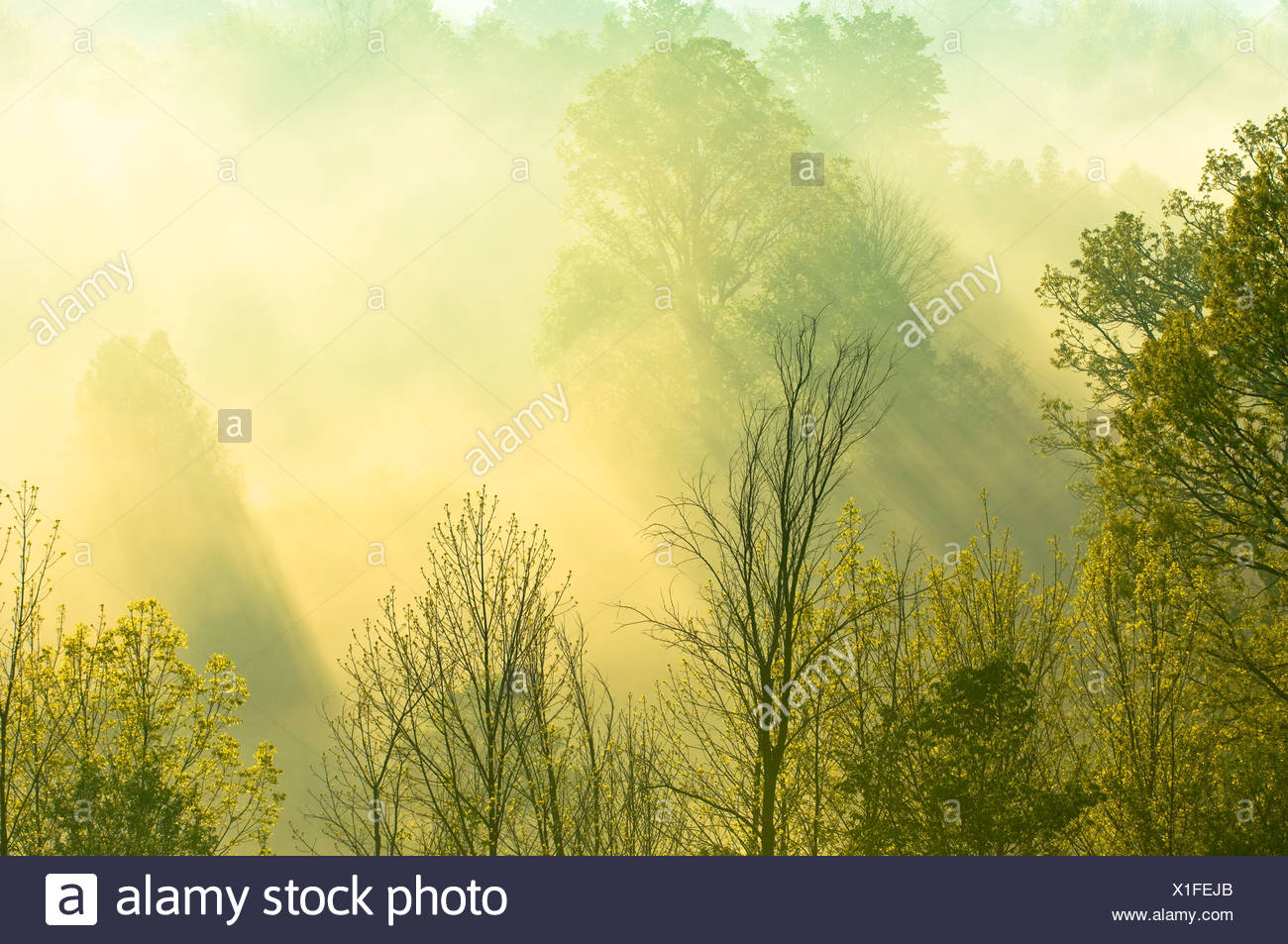 Morning sunlight filters through trees and mist over the Grand River near West Montrose, Ontario, Canada Stock Photo