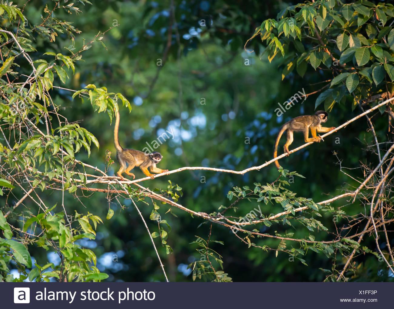 Squirrel monkeys in trees - photo#32