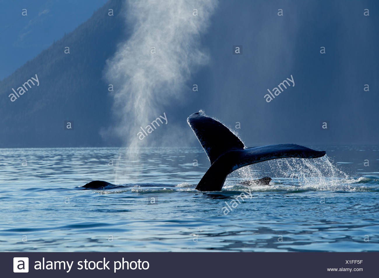 A Humpback Whale lifts its flukes as it dives down into Stephens Passage, Admiralty Island, Inside Passage, Alaska, Autumn - Stock Image