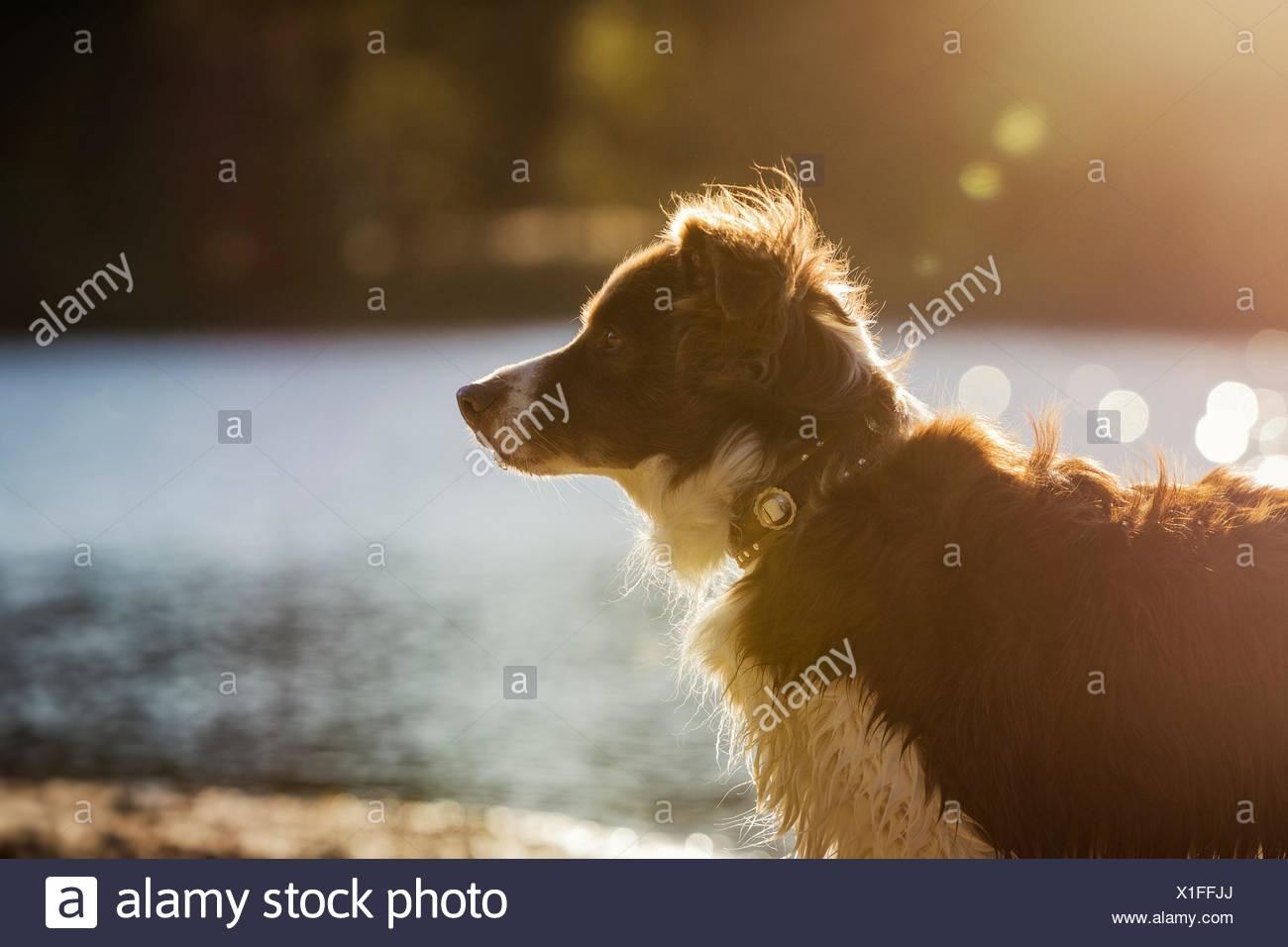 Border Collie at lakesite - Stock Image