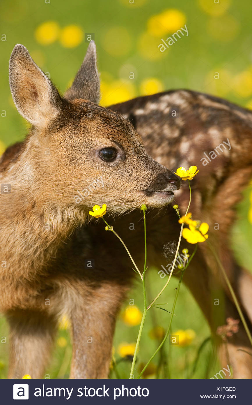roe deer (Capreolus capreolus), fawn sniffing at a flower, Germany - Stock Image