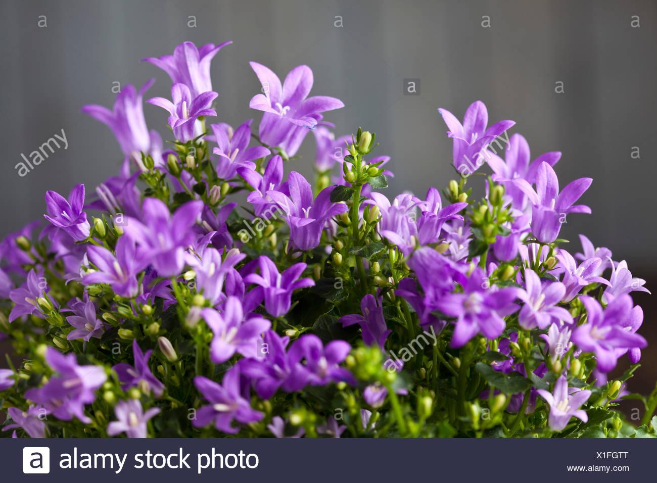 Purple Bellflowers Close Up Stock Photo 276323064 Alamy
