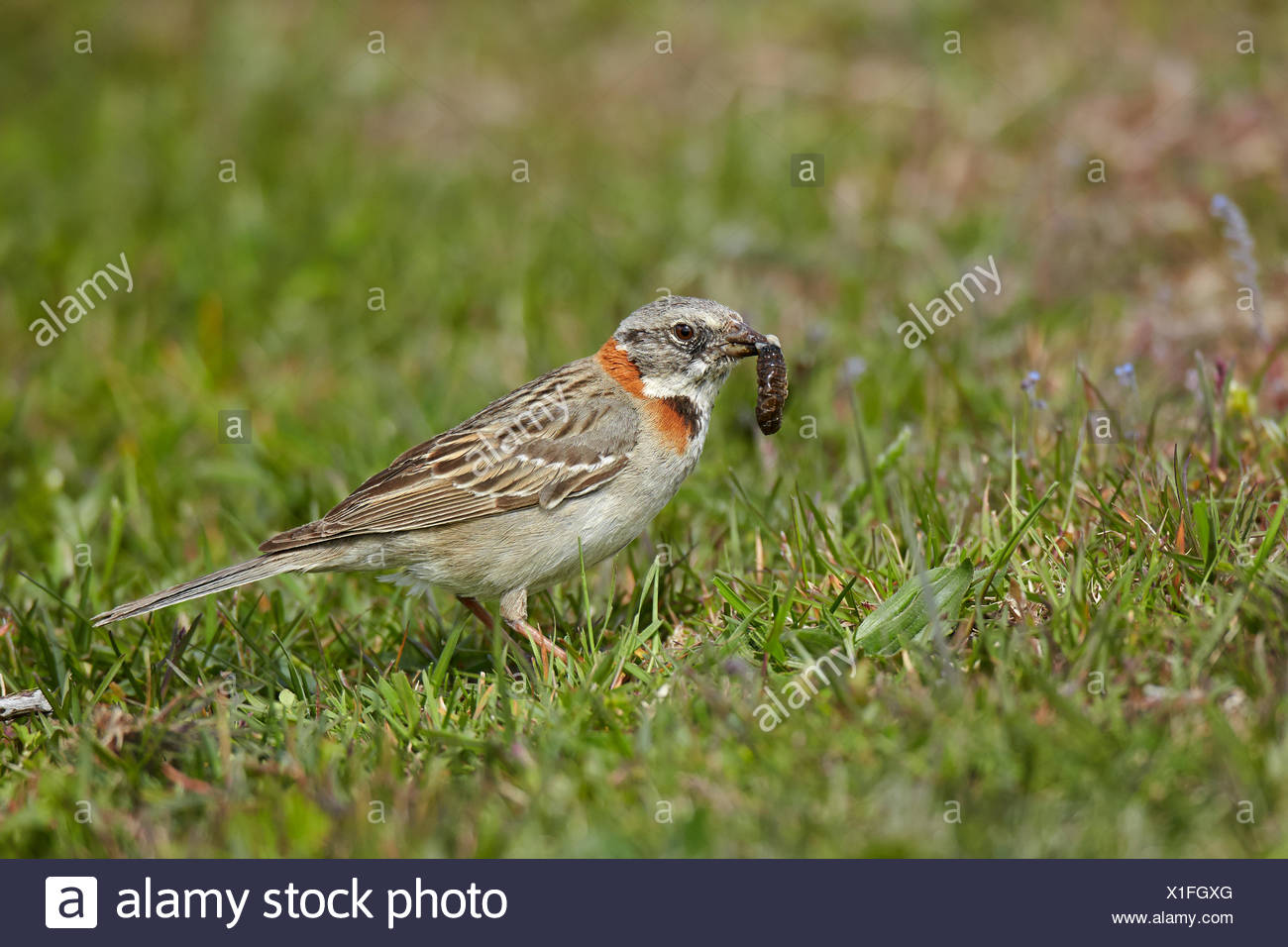 Rufous-collared Sparrow feeding - Torres del Paine NP Chile Stock Photo