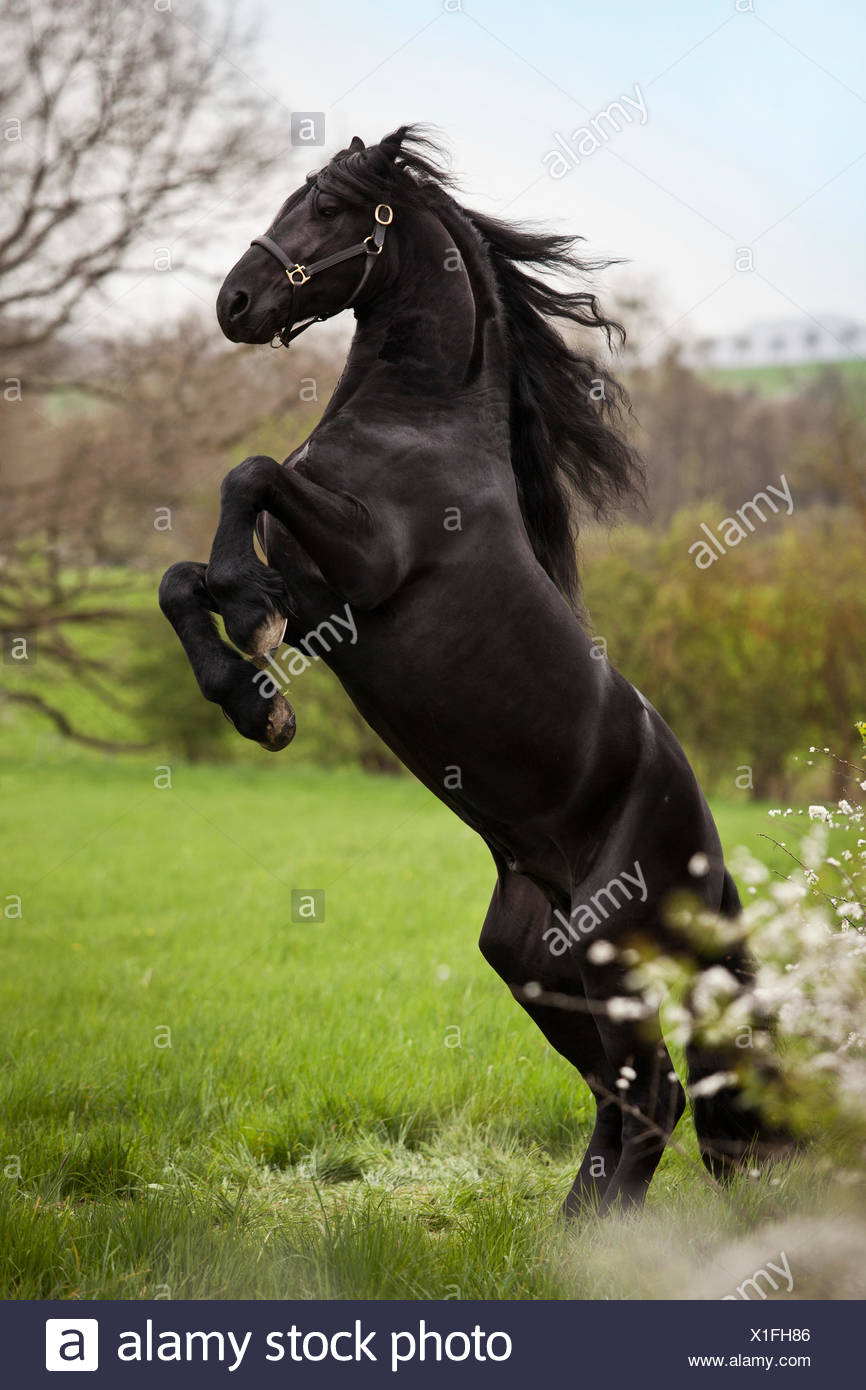 Friesian or Frisian horse, stallion on a meadow, 'pesade' dressage position, airs above the ground - Stock Image