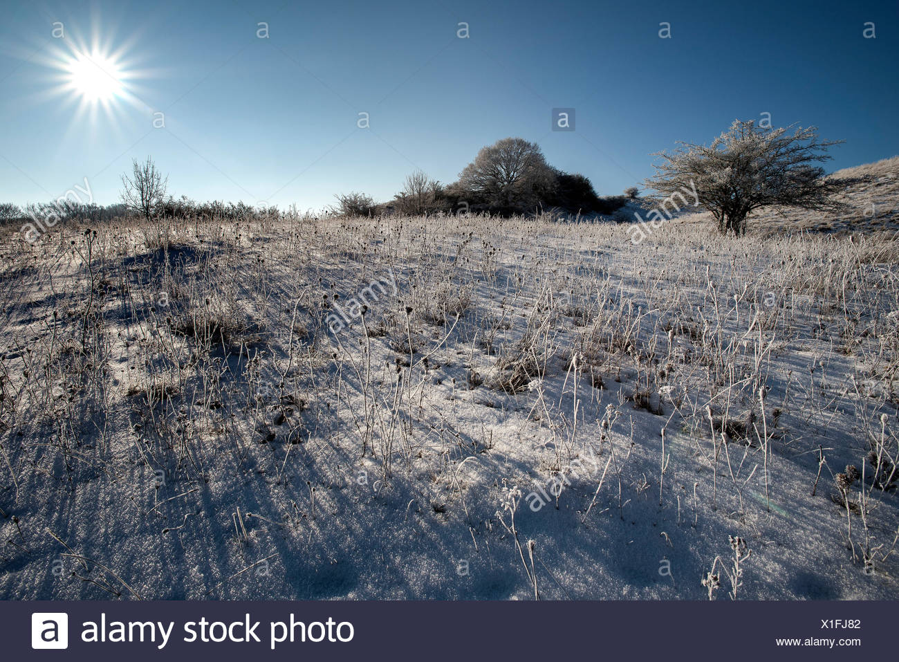 With hoarfrost covered winter scenery in the back light with the stellar sun and Seabuckethorn. - Stock Image