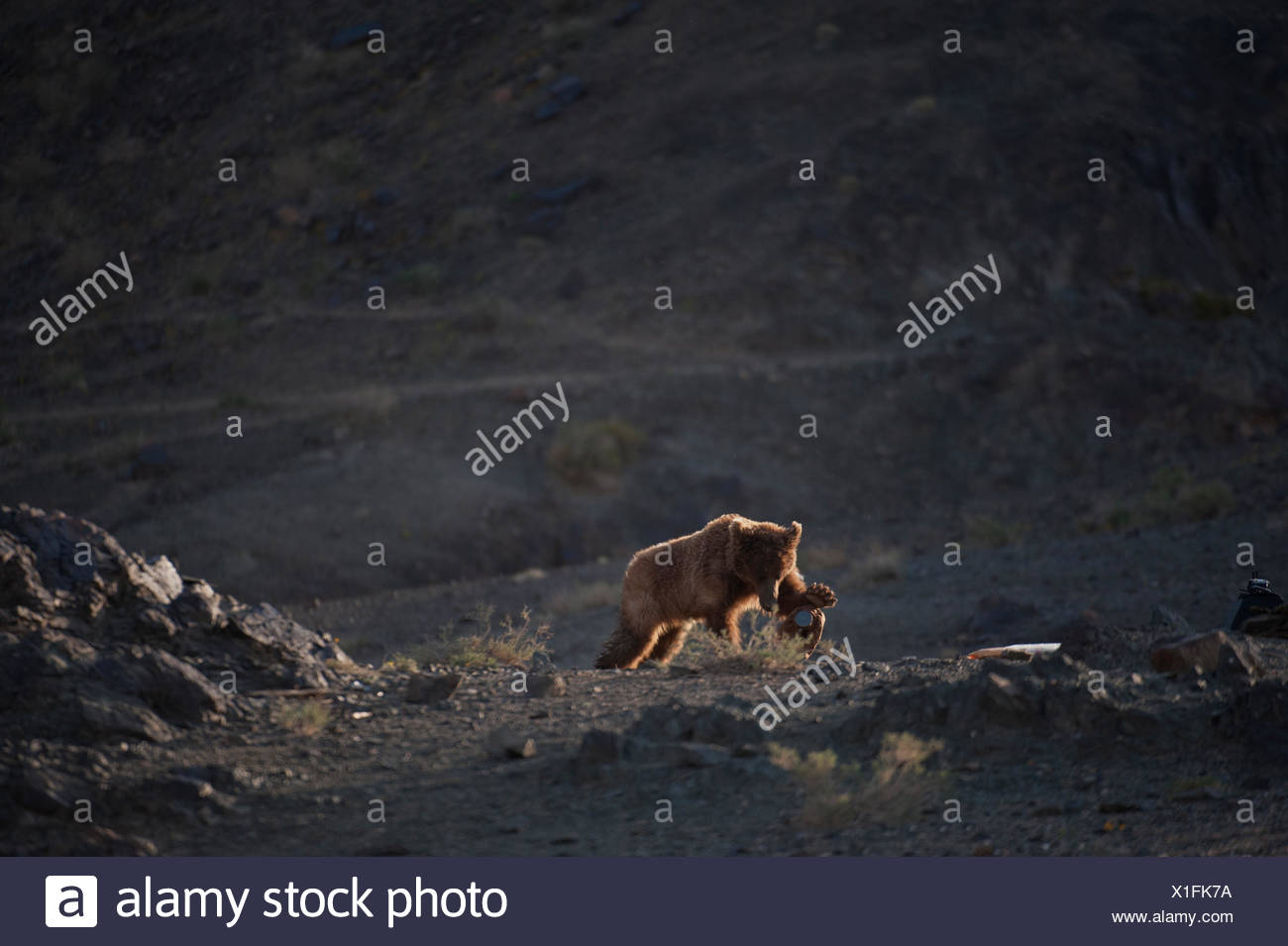 A female Gobi grizzly bear, wearing a GPS tracking collar and ear tag, charges and breaks a remote camera. - Stock Image