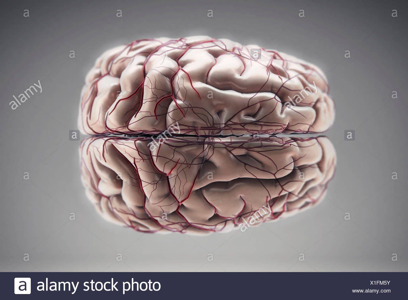Superior view of an anatomical model of the brain and its blood ...