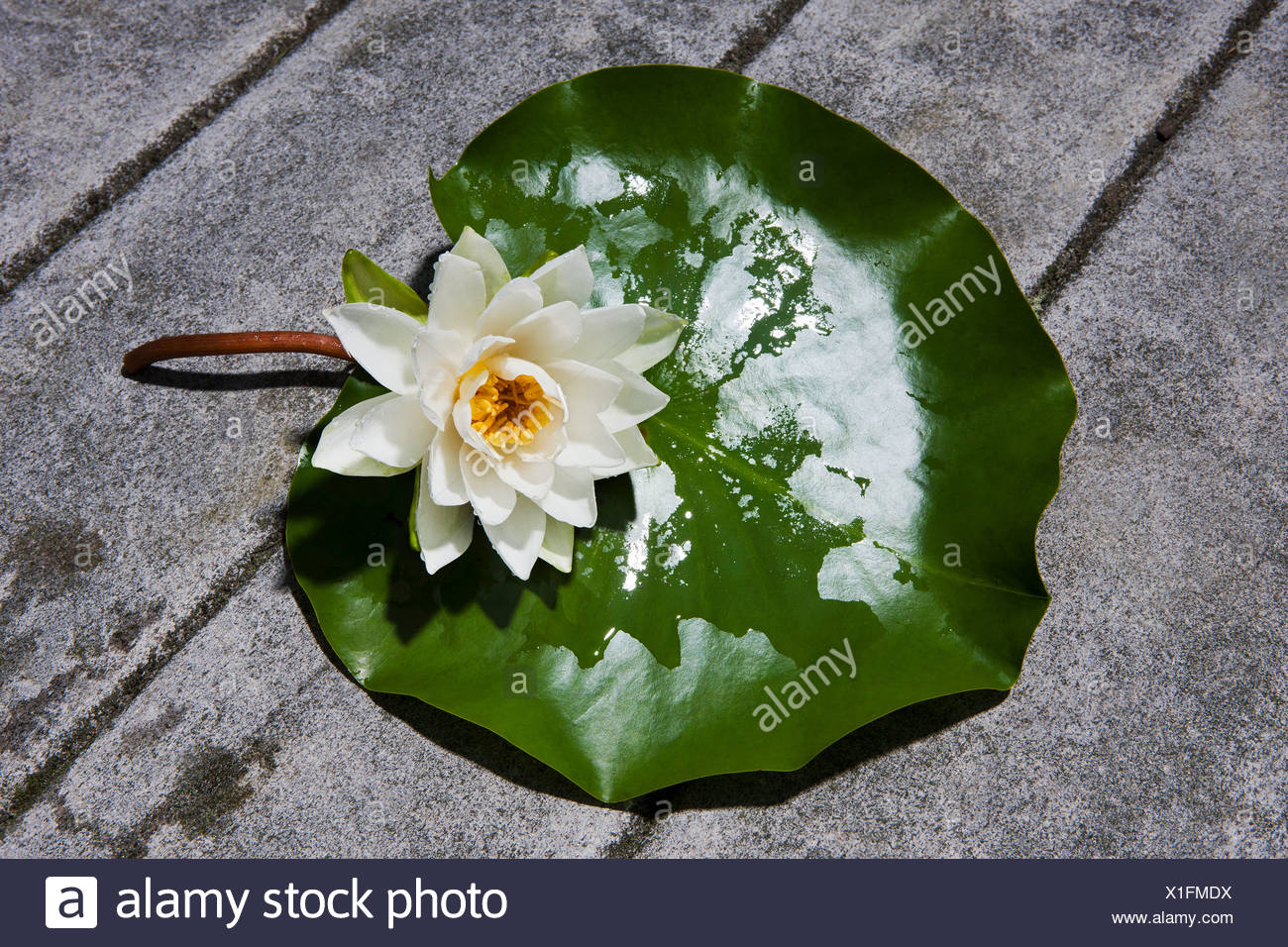 Lily pad flower stock photos lily pad flower stock images alamy water lily flower on lily pad stock image izmirmasajfo Images