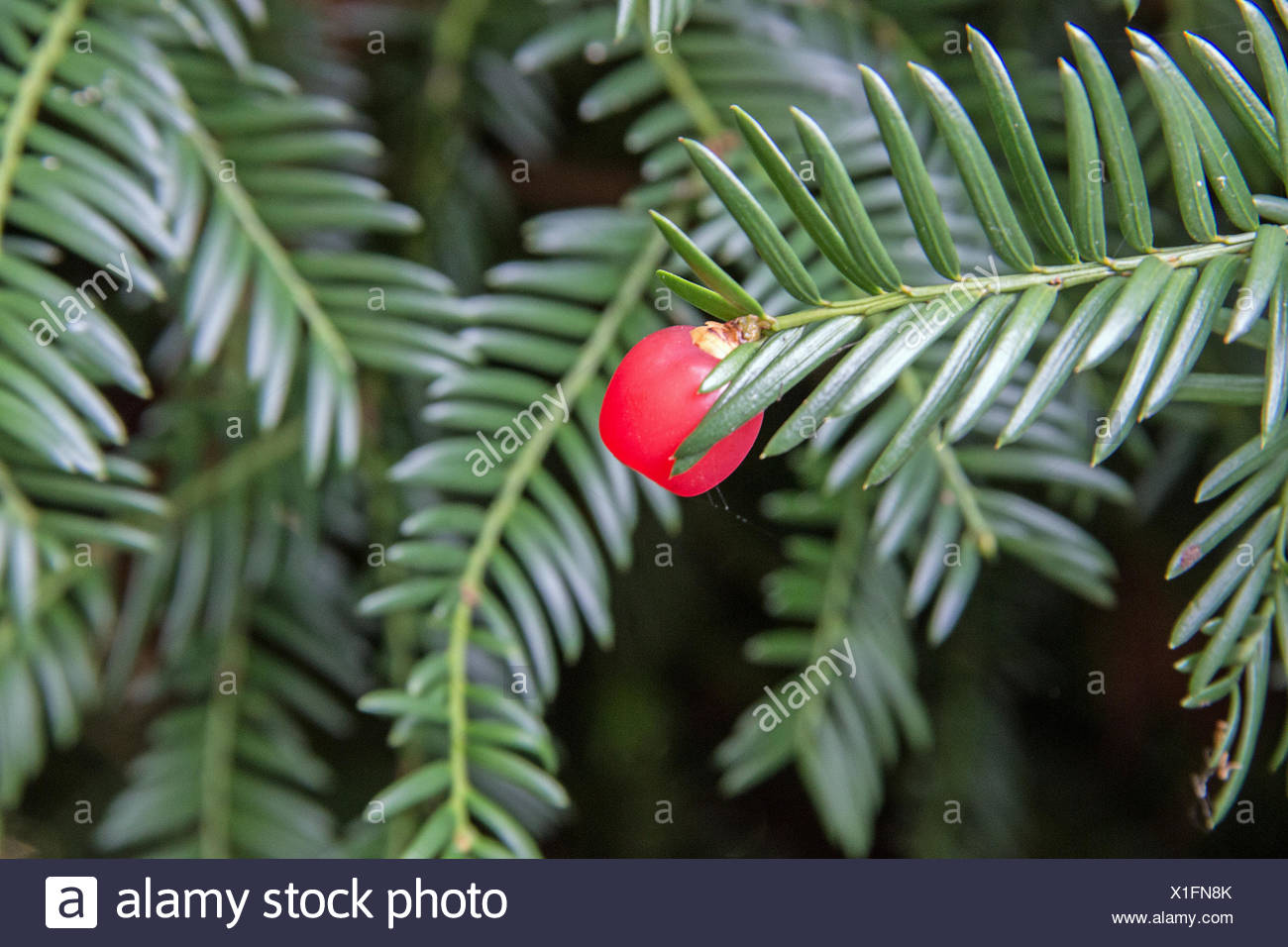 Yew branch with red seed coat - Stock Image