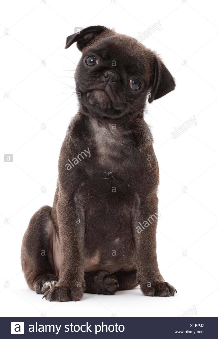 Platinum Pug puppy. - Stock Image