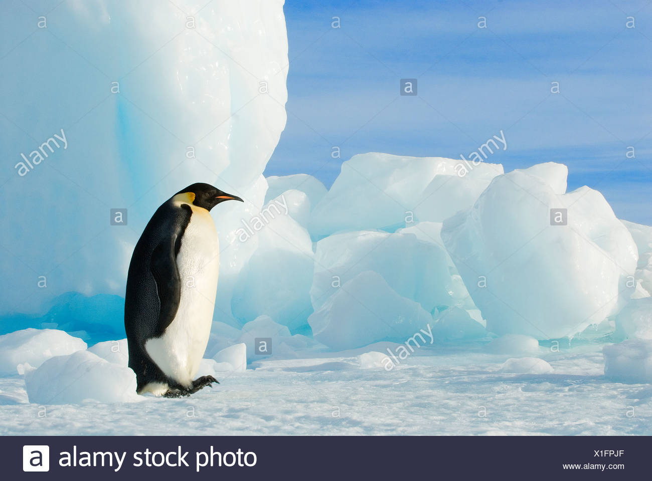 Adult emperor penguin (Aptenodytes forsteri) striding beside a grounded iceberg, Snow Hill Island, Antarctic Peninsula - Stock Image