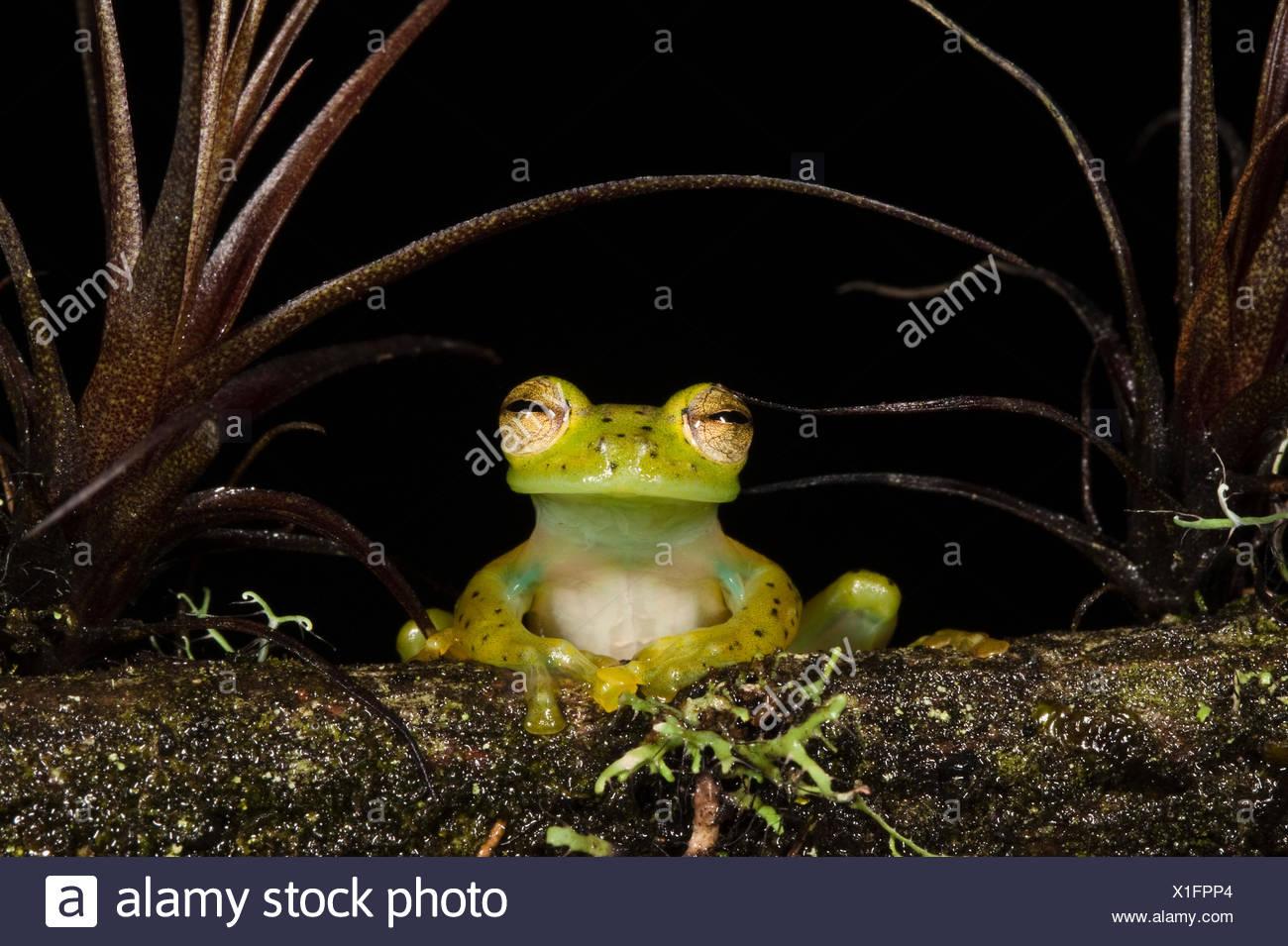 Portrait of an Emerald Glass Frog (Espadarana / Centrolenella prosoblepon). Captive. Chocó Region of northwest Ecuador. - Stock Image