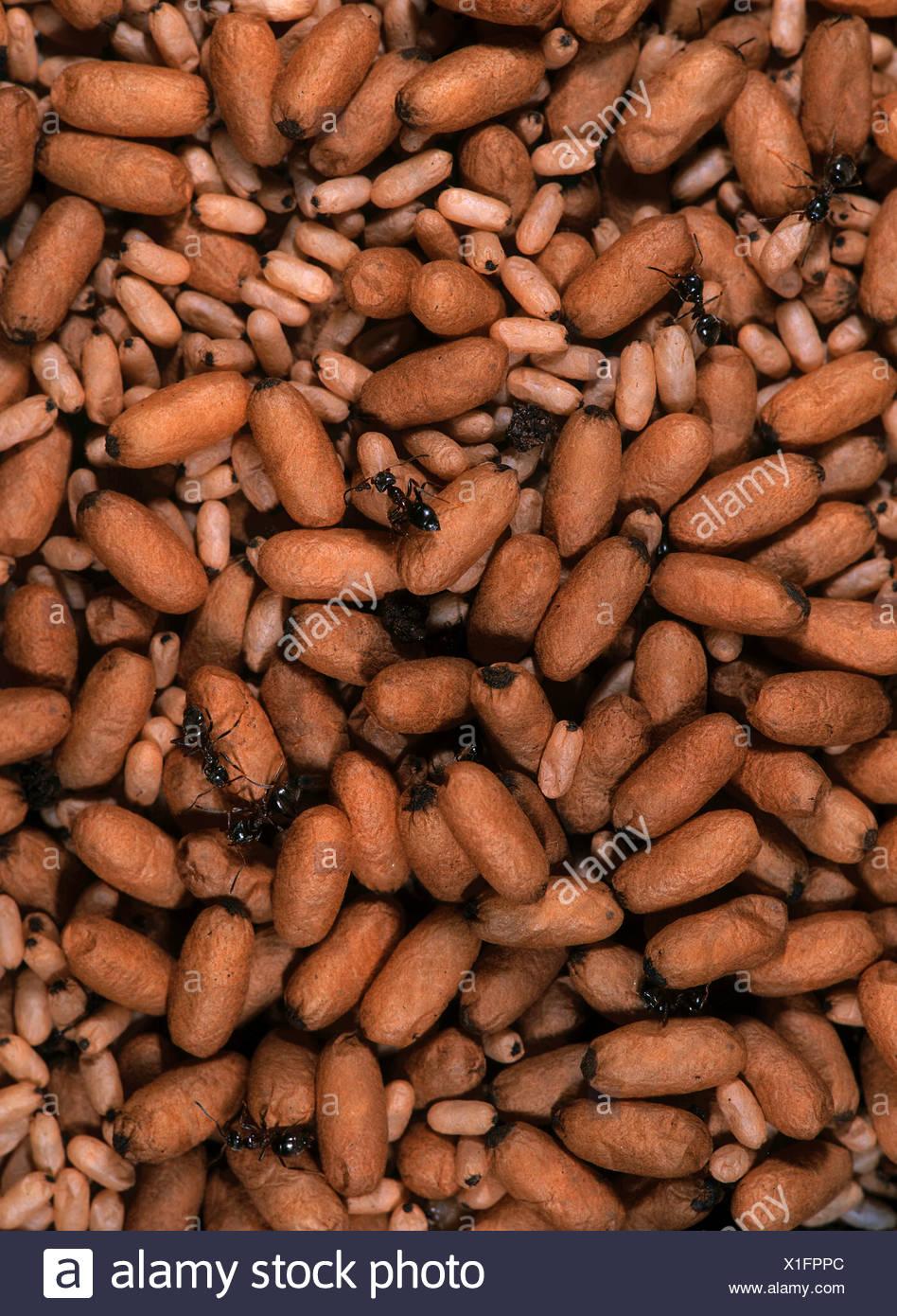 black garden ant - pupas - Stock Image