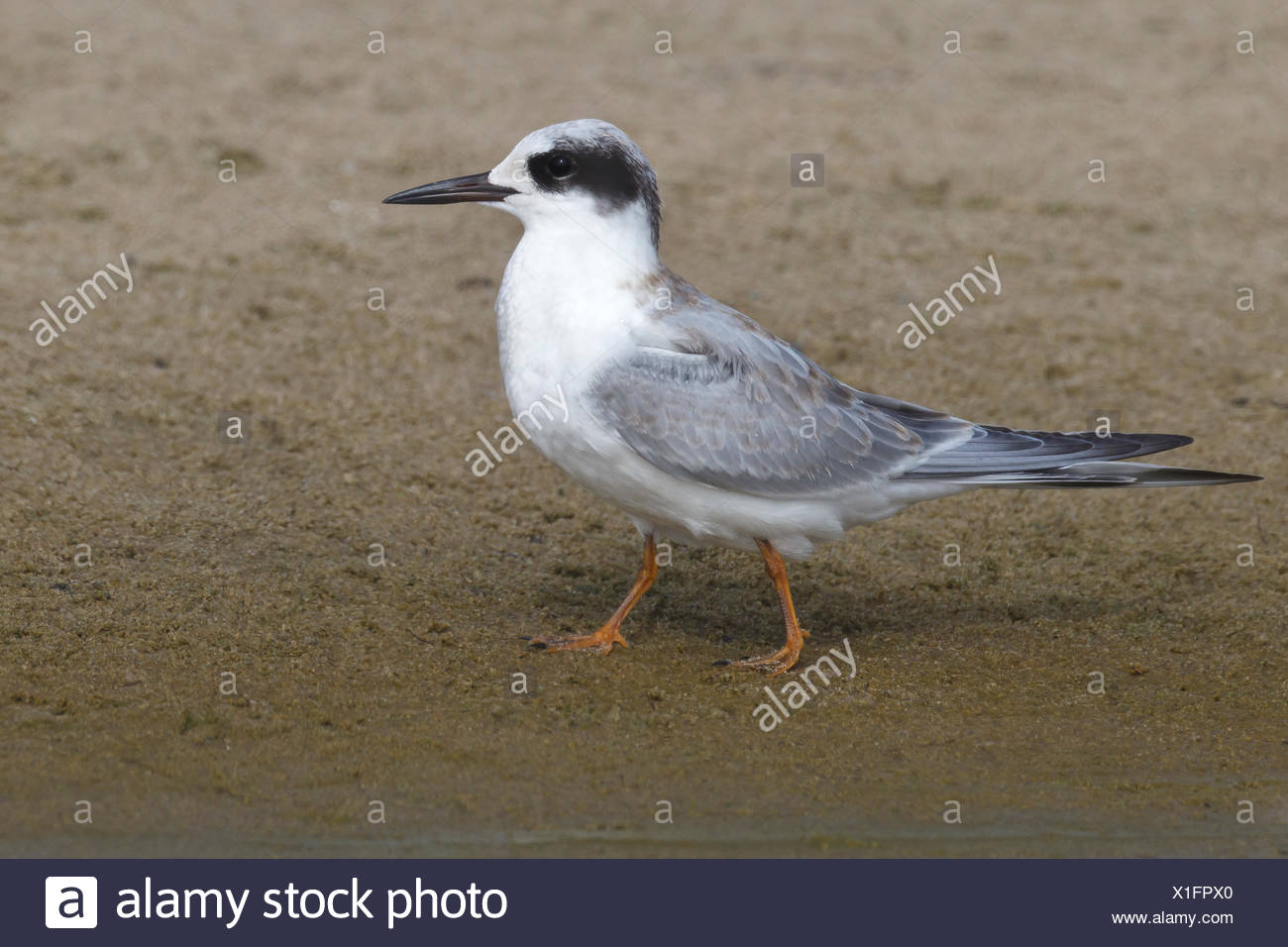 Forster's Tern - Sterna forsteriIn - transition from juvenile to 1st winter - Stock Image