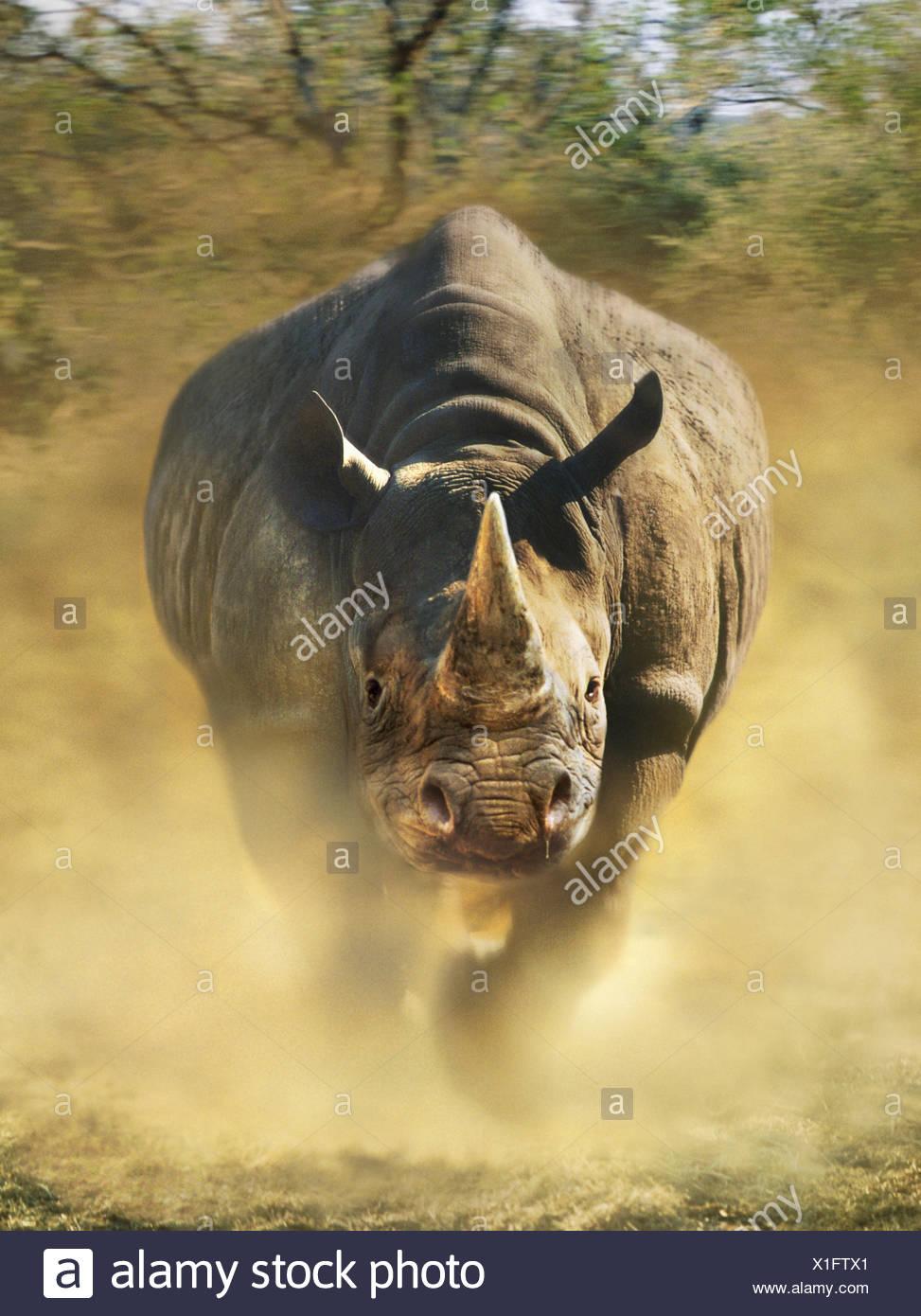 Charging black rhinoceros - Stock Image