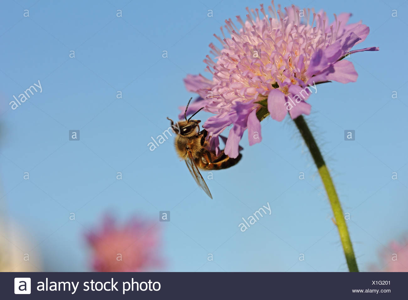Honey bee (Apis sp.), on a Field Scabious (Knautia arvensis), Baden-Wuerttemberg - Stock Image