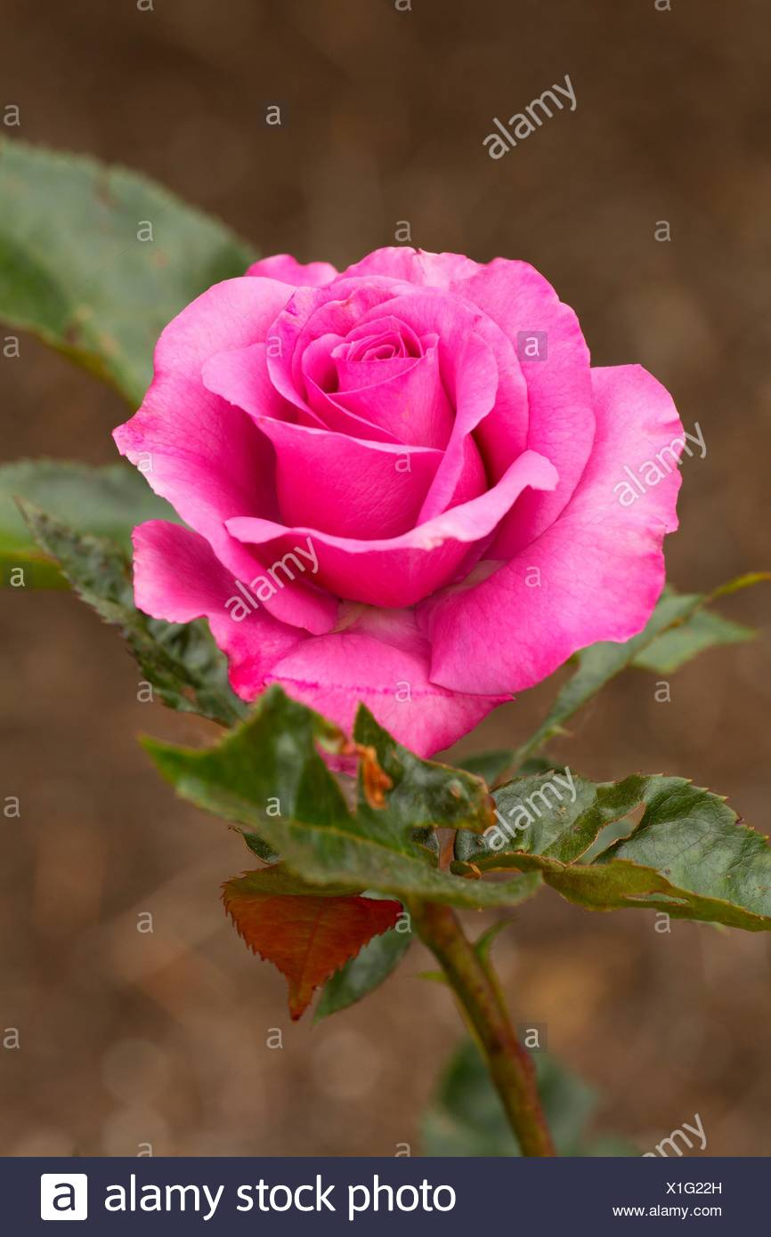 Love Potion rose, Heirloom Roses, St Paul, Oregon. - Stock Image