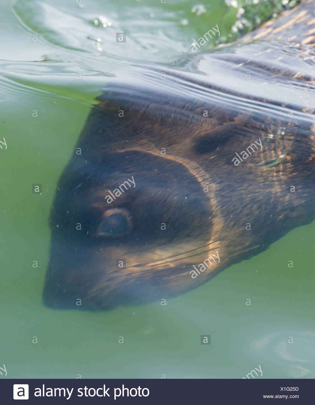 South African Fur Seal swimming underwater, Namibia, Africa - Stock Image