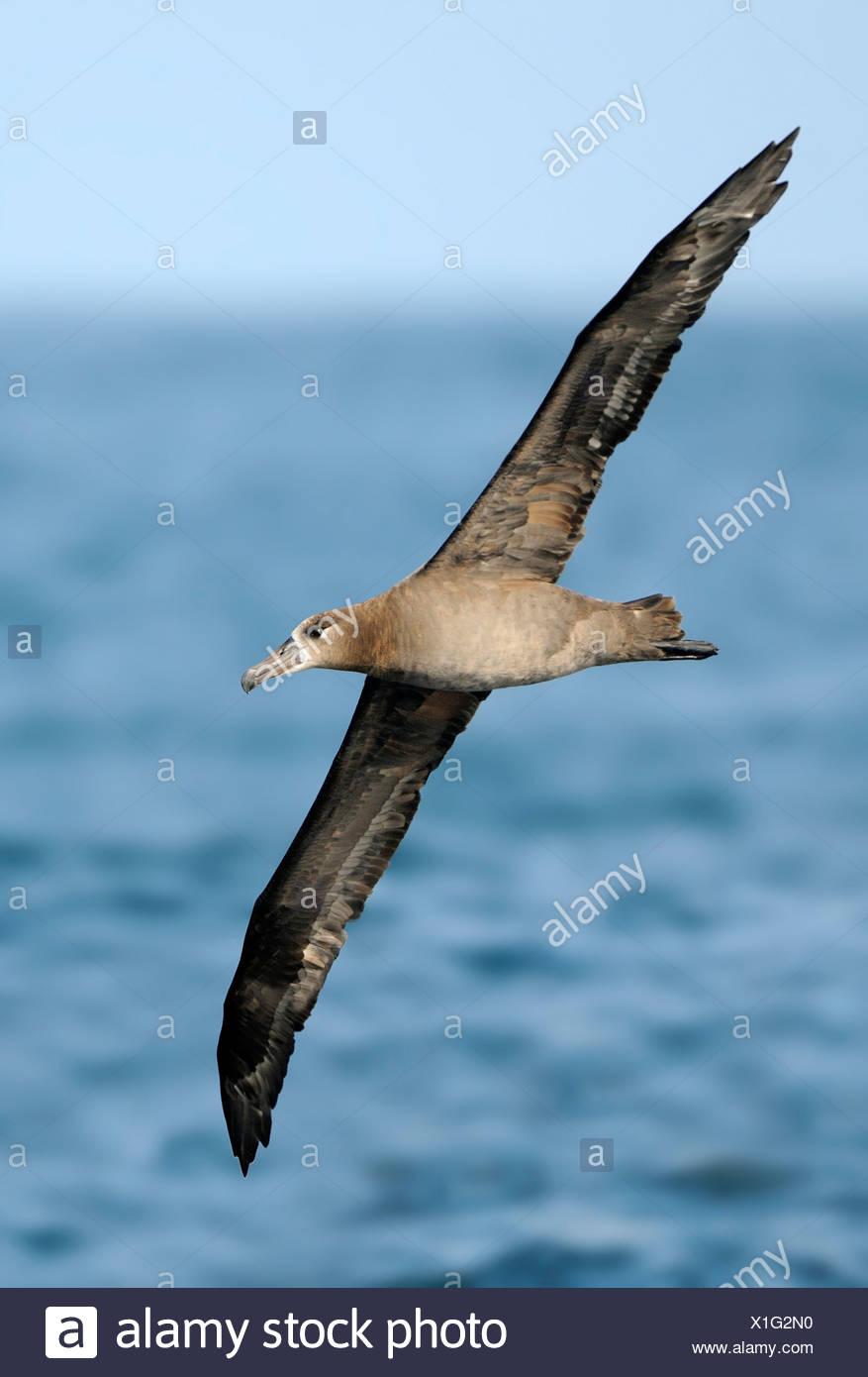 Black-footed Albatross on pelagic trip off Westport WA Stock Photo