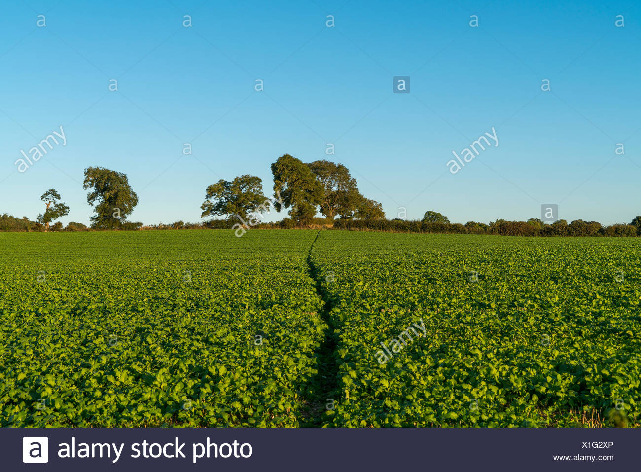 A lush green crop growing in a field with blue sky; Yorkshire, England - Stock Image