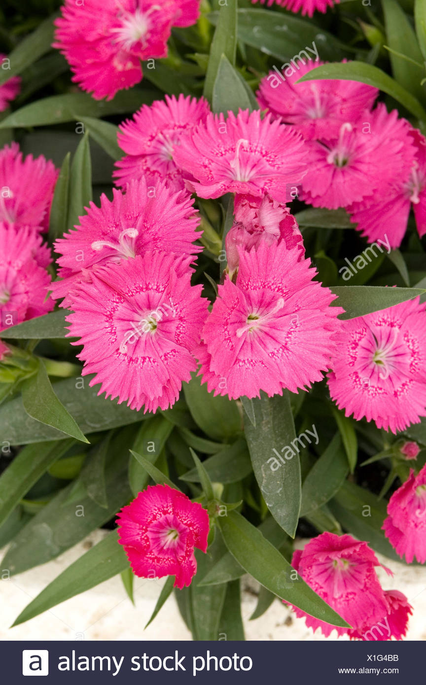 DIANTHUS CHINENSIS IDEAL SELECT ROSE - Stock Image