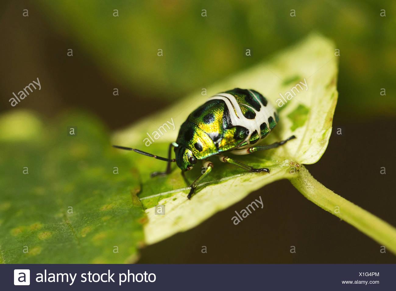 Jewel Bug or Shield Backed Bug in the family Scutelleridae. Chrysocoris stolli. Chorla Ghats Mhadei Wildlife Sanctuary Goa - Stock Image