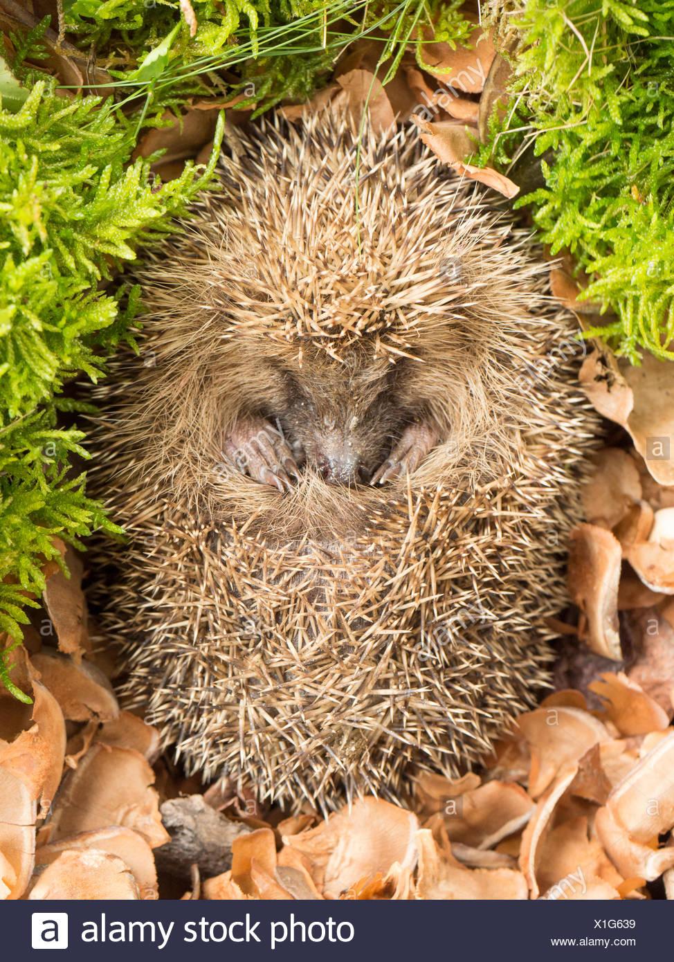 Hedgehog in a garden Stock Photo