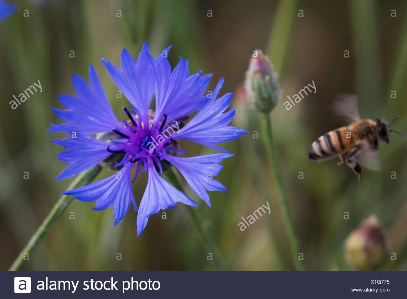 Kornblume (Centaurea cyanus), Bluete mit abfliegender Honigbiene, Deutschland, Bayern   bachelor's button, bluebottle, cornflowe - Stock Image
