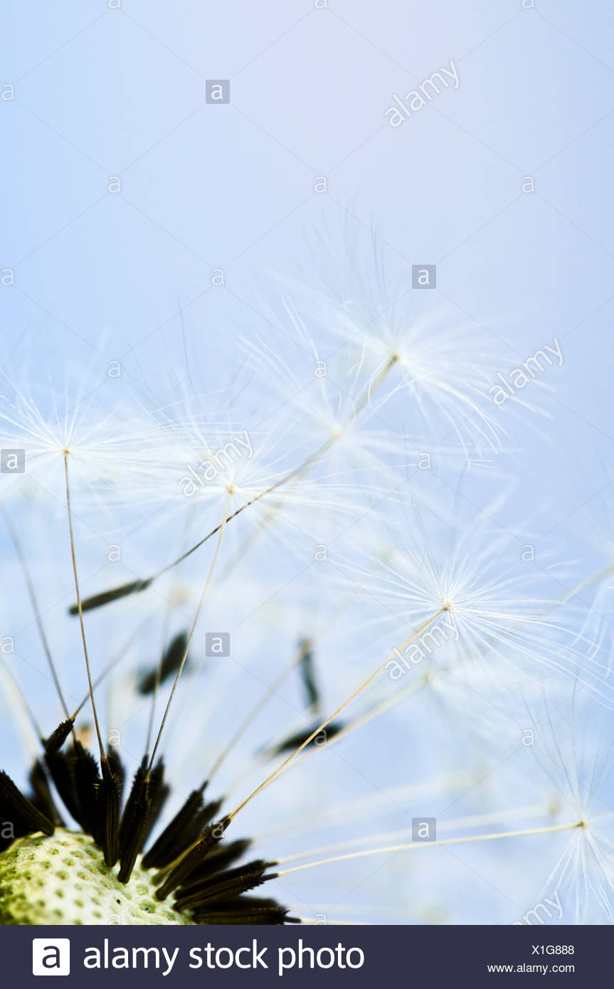 closeup weed emblements - Stock Image