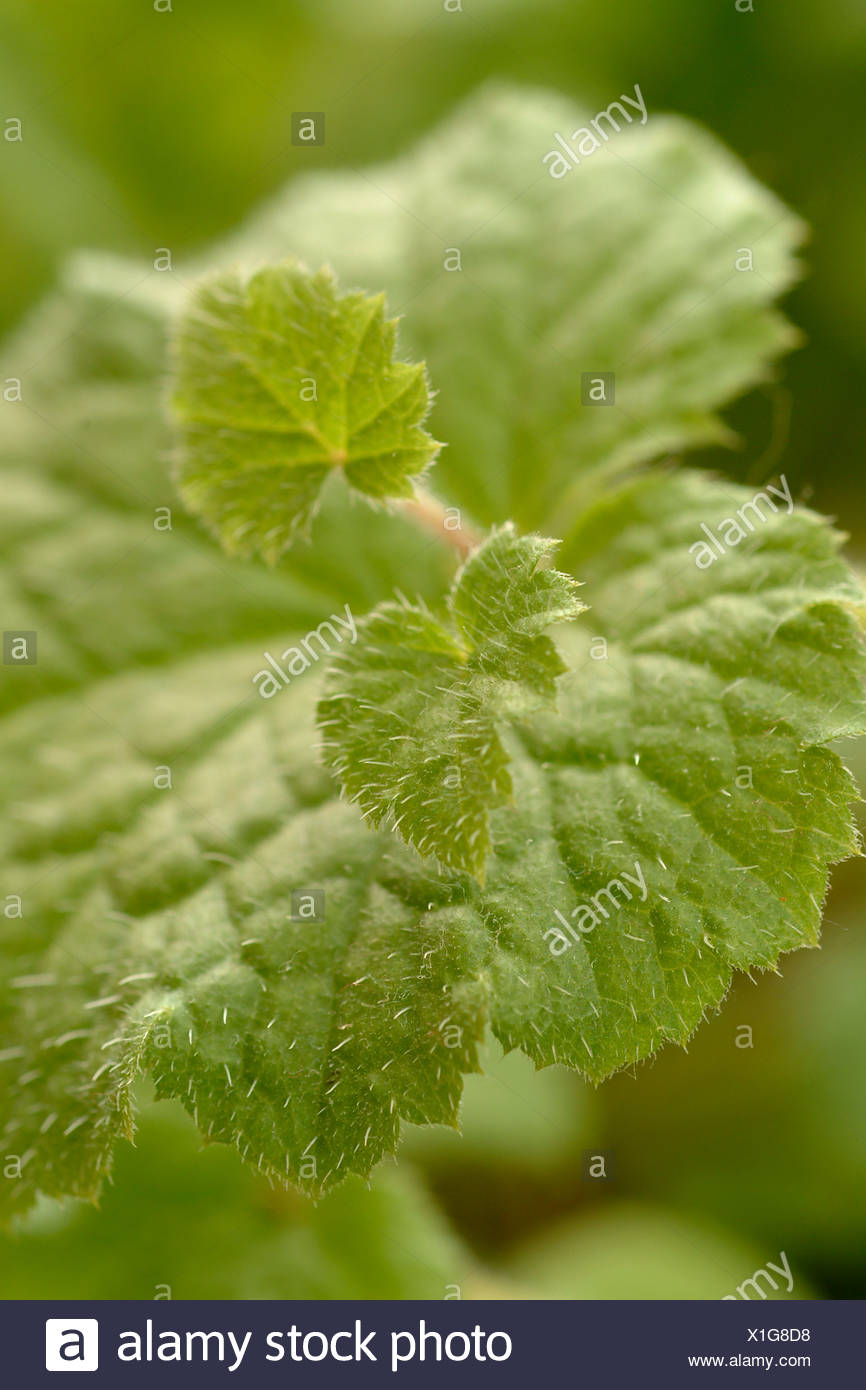 blätter einer zimmerpflanze leaves of a house plant - Stock Image