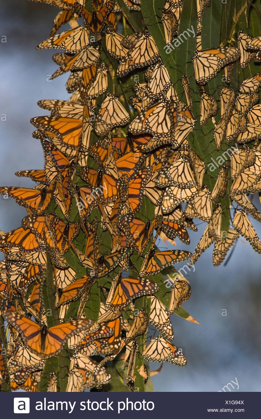 Overwintering Monarch butterflies (Danaus plexippus) clustered in eucalyptus tree, Pismo Beach, California, USA - Stock Image