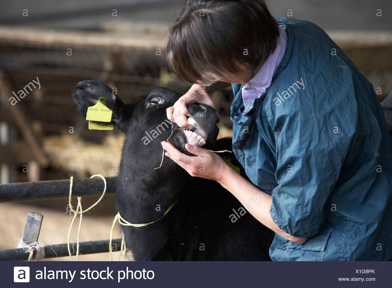Vet Examining Calf - Stock Image