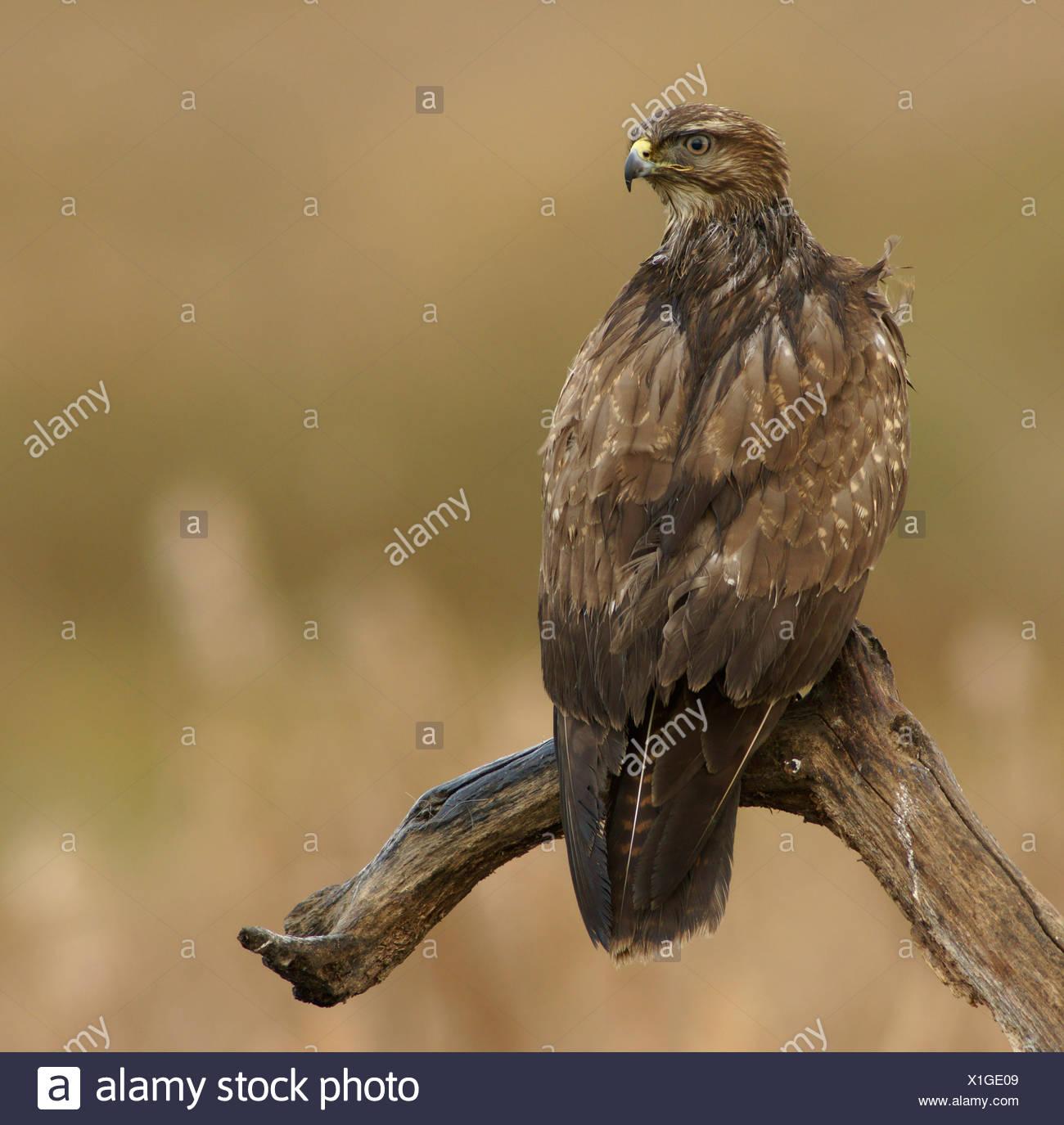Common Buzzard (Buteo buteo), Feldberger Seen, lakes, Mecklenburg-Western Pomerania, Germany, Europe - Stock Image