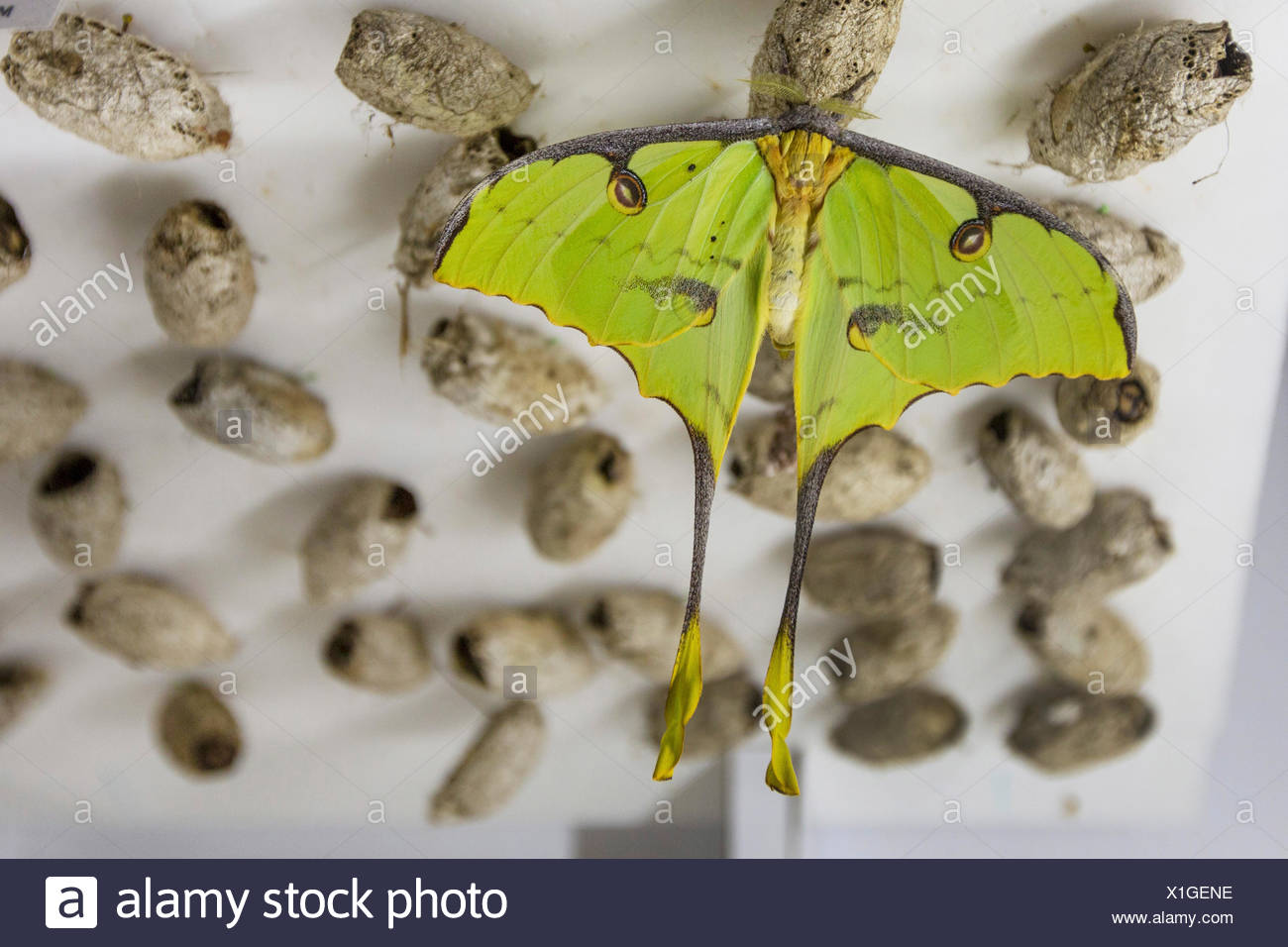 African moon moth (Argema mimosae), in a butterfly farm, with pupas in the background - Stock Image