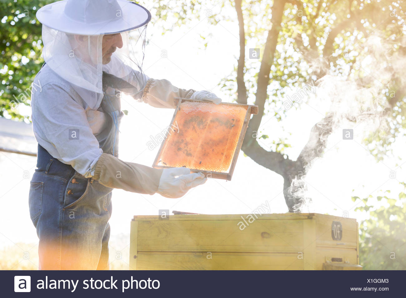 Beekeeper in protective clothing examining bees on honeycomb - Stock Image