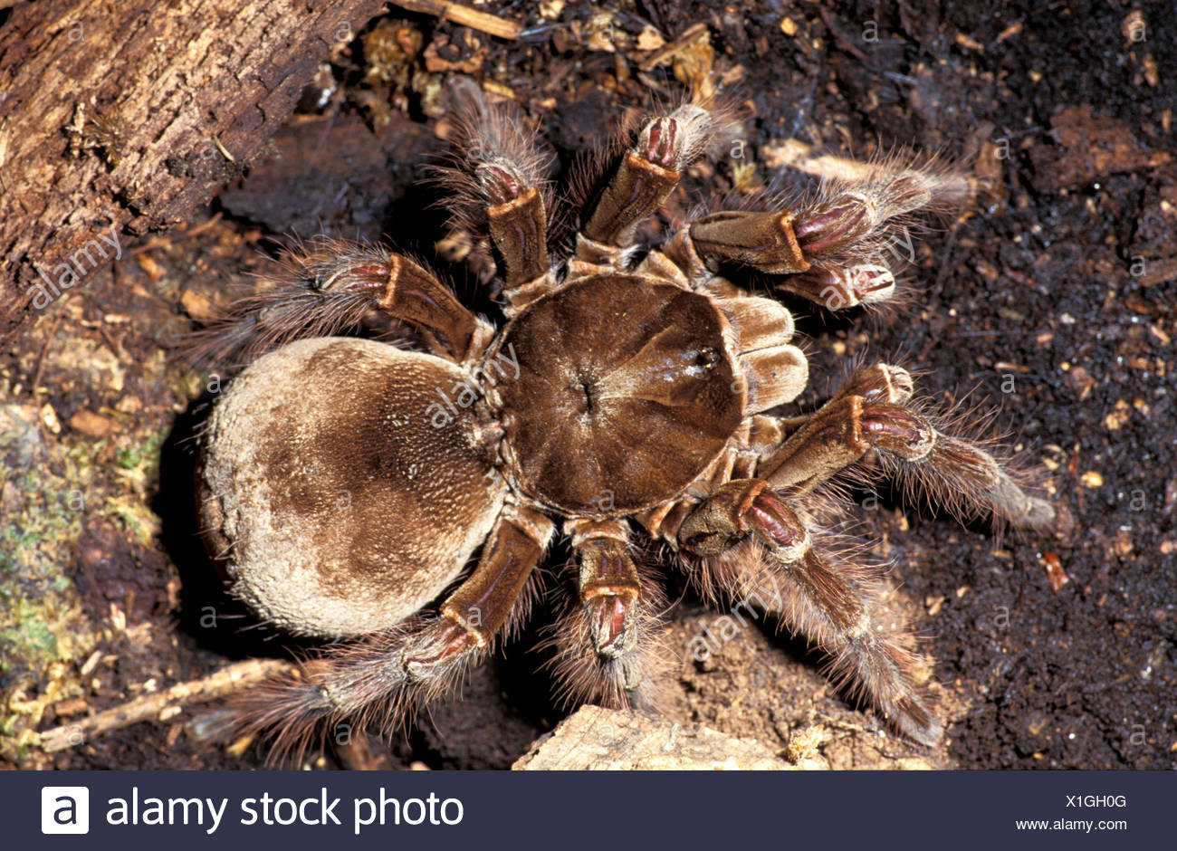 Goliath Bird Eating Spider Theraphosa Blondi Captive