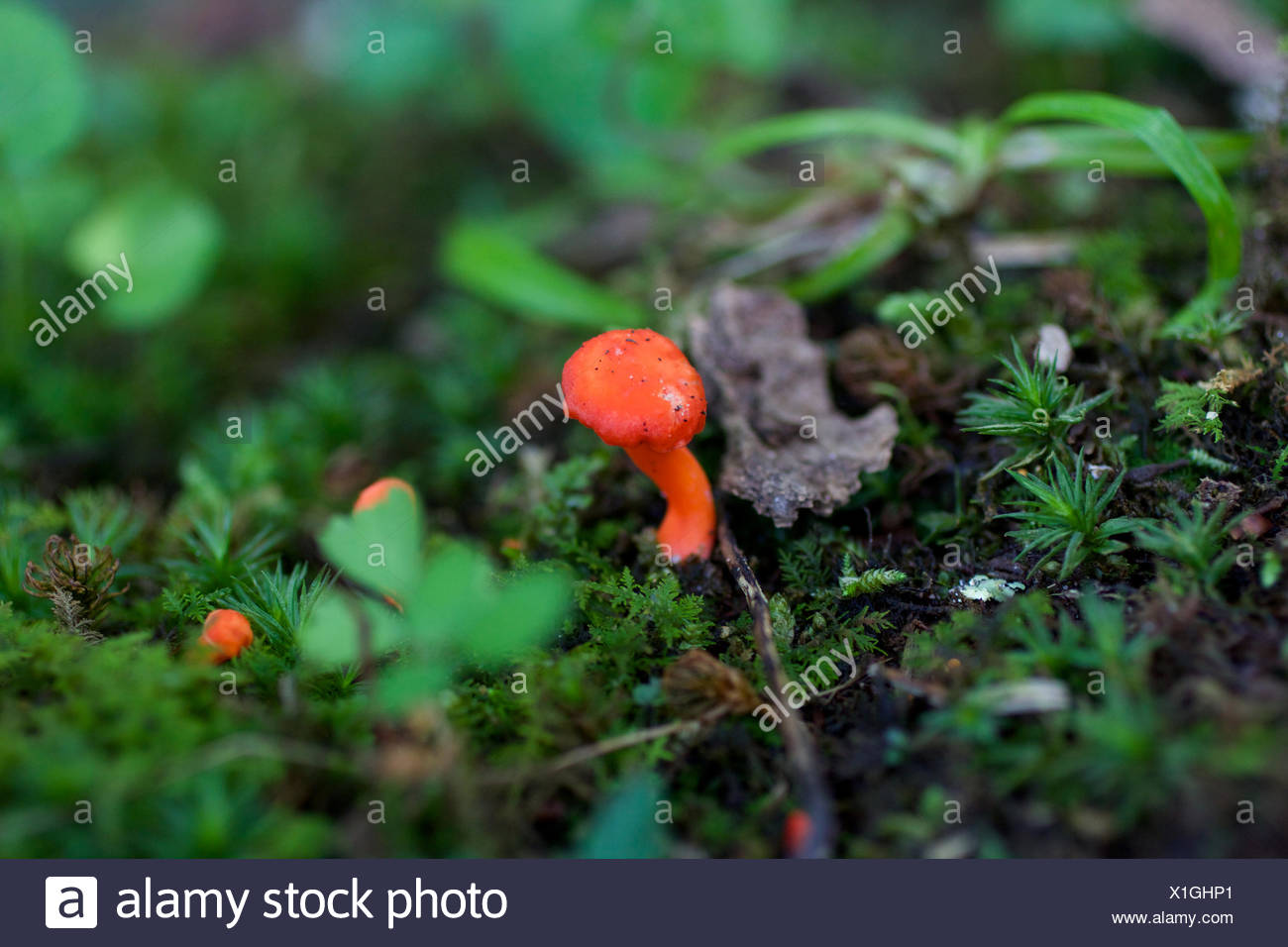 A tiny bright reddish orange mushroom, most likely a Hygrocybe. - Stock Image